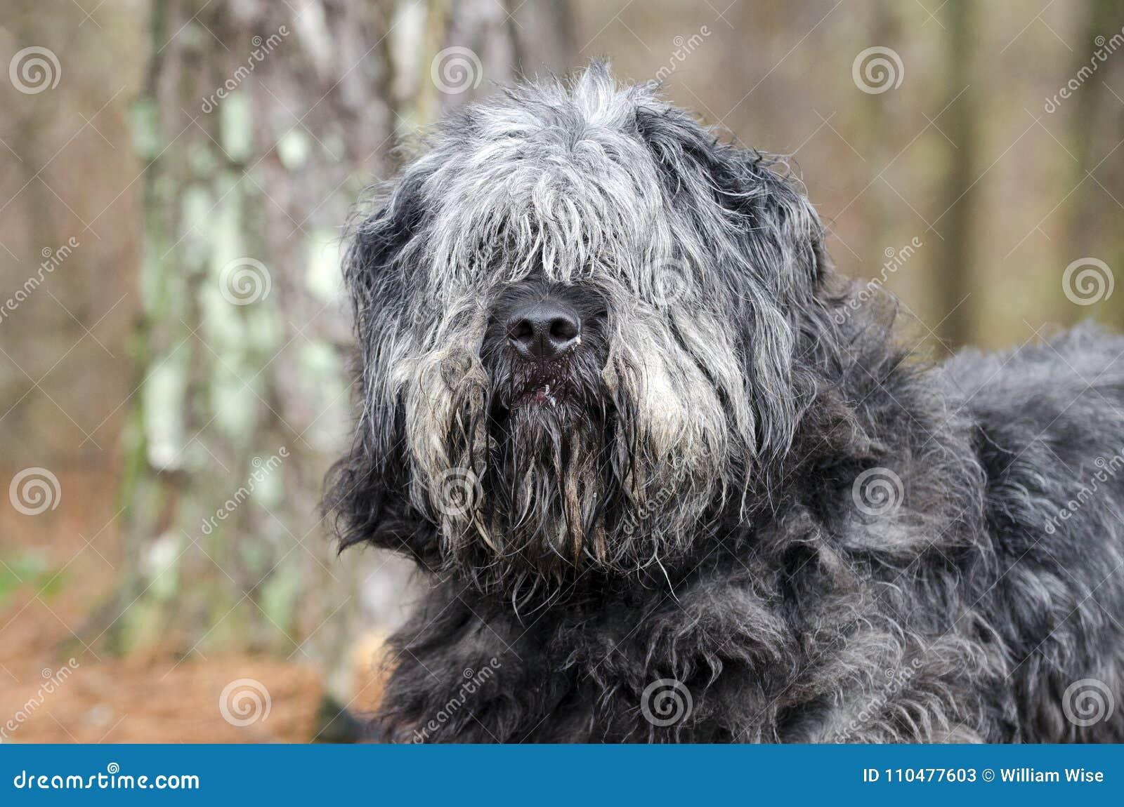 Stor grå fluffig sjaskig gammal engelsk brudgum för behov för hund för fårhundNewfie typ
