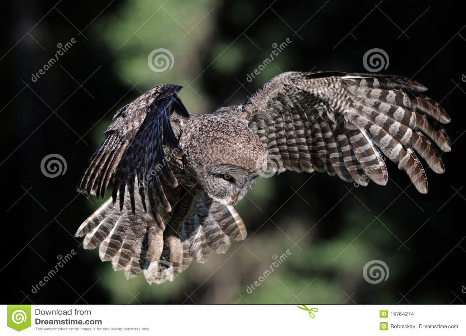 Stor grå owl för flyg
