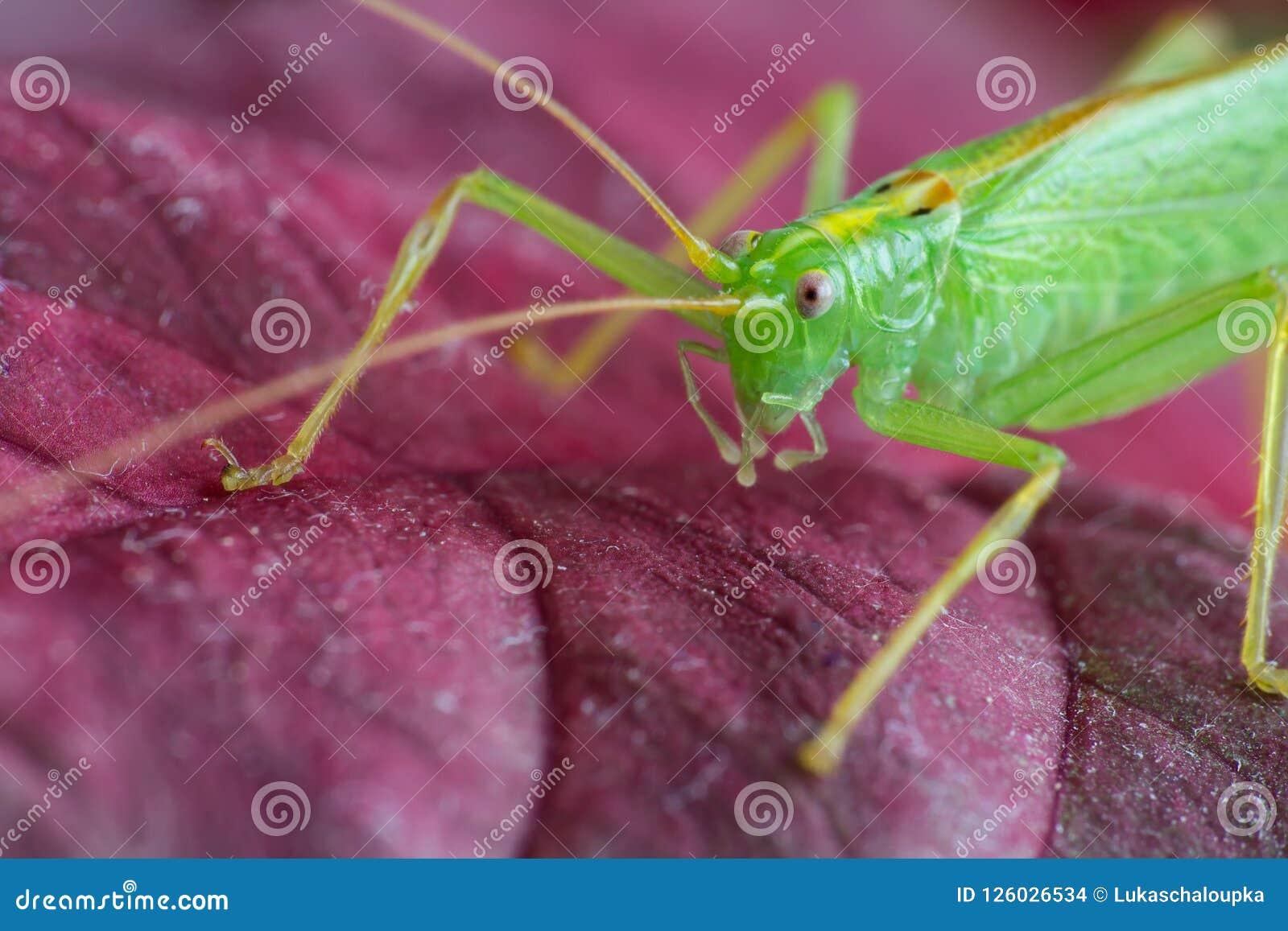 Stor grön gräshoppa på röda tjänstledigheter, makro
