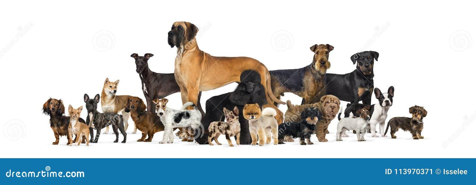 Stor grupp av rashundar i studio mot vit bakgrund