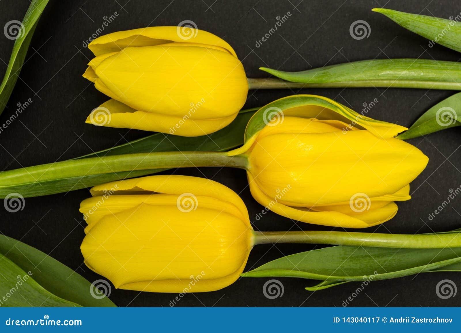 Stor gul knopp för tulpan tre på en svart bakgrund