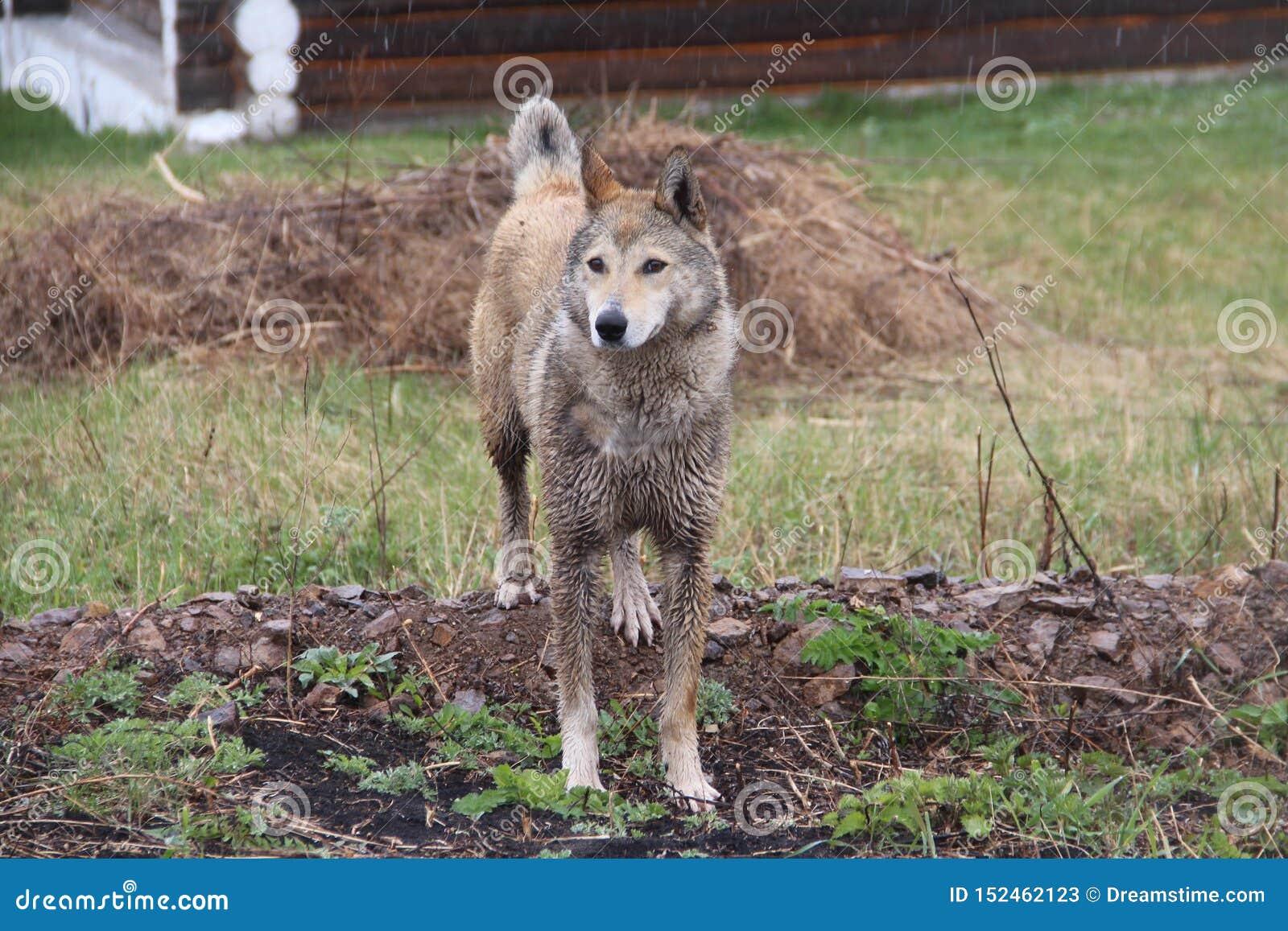Stor hund som går i regnet