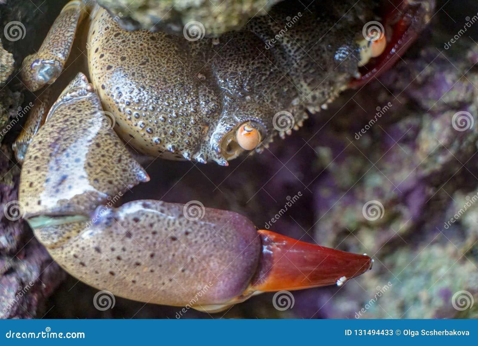 Stor krabba med den röda jordluckraren