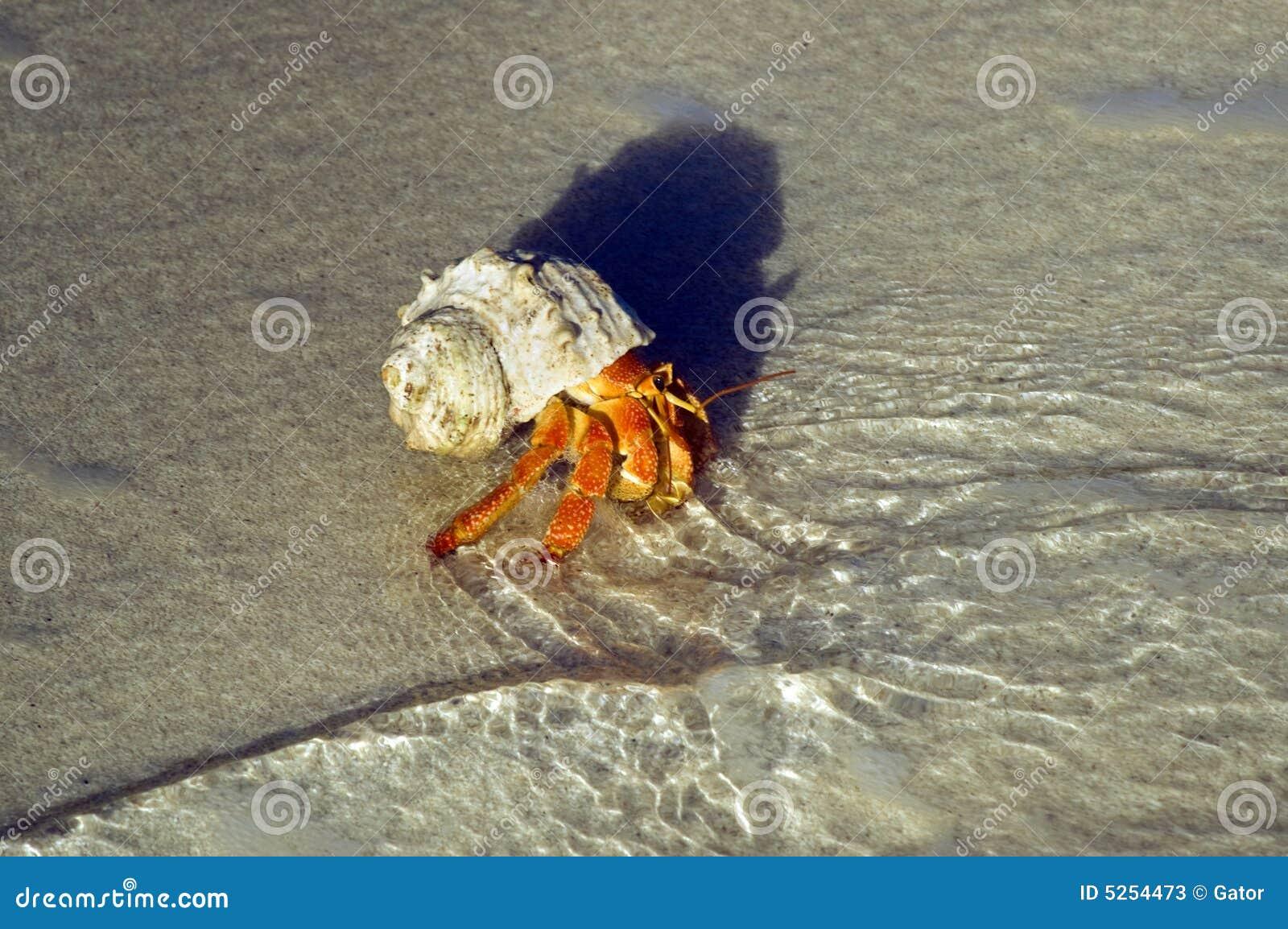 Stor krabbaensling