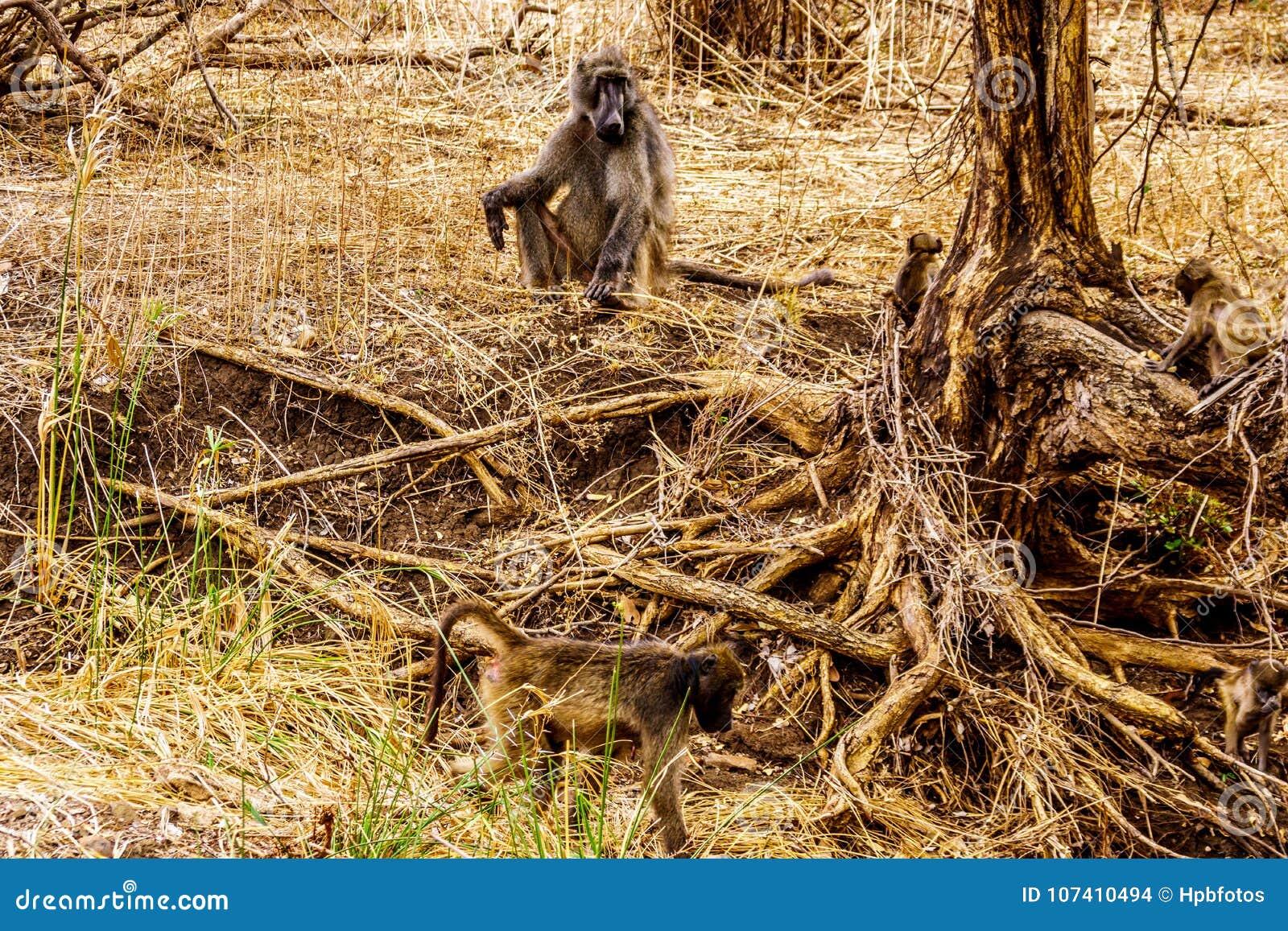 Stor manlig babian med unga babianer i torka slåget område av den centrala Kruger nationalparken