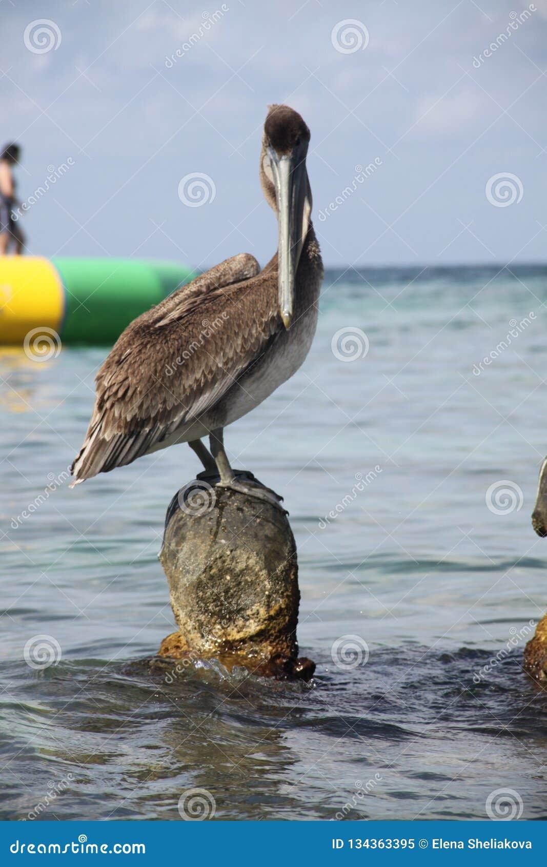 Stor pelikan på stranden