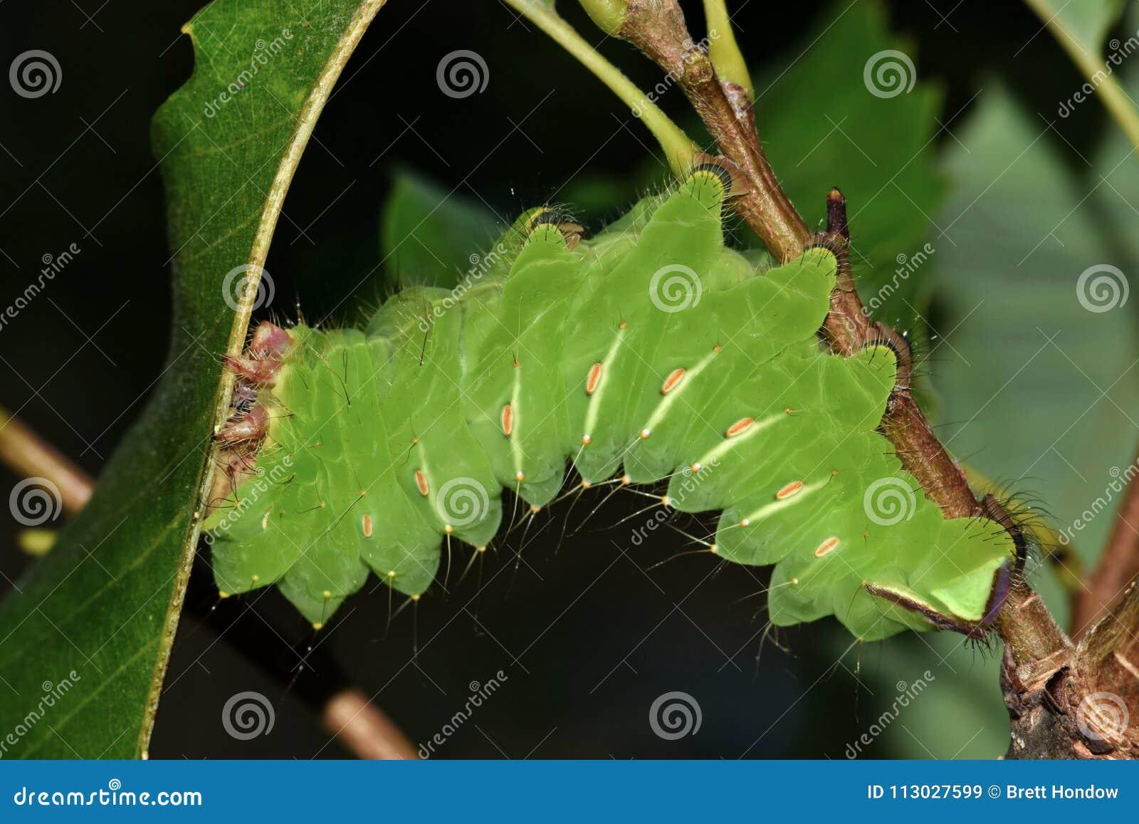 Stor Polyphemus larv som äter eksidor