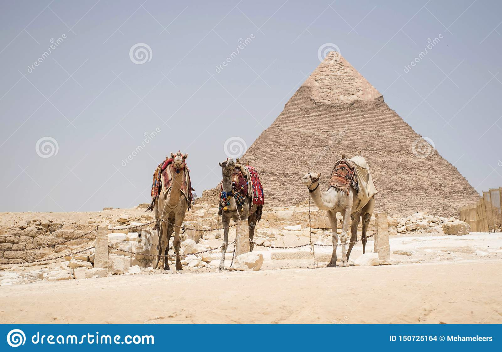 Stor pyramid av khufuen giza Egypten Med tre kamel framme av buidlingen Typisk Egypten bakgrund