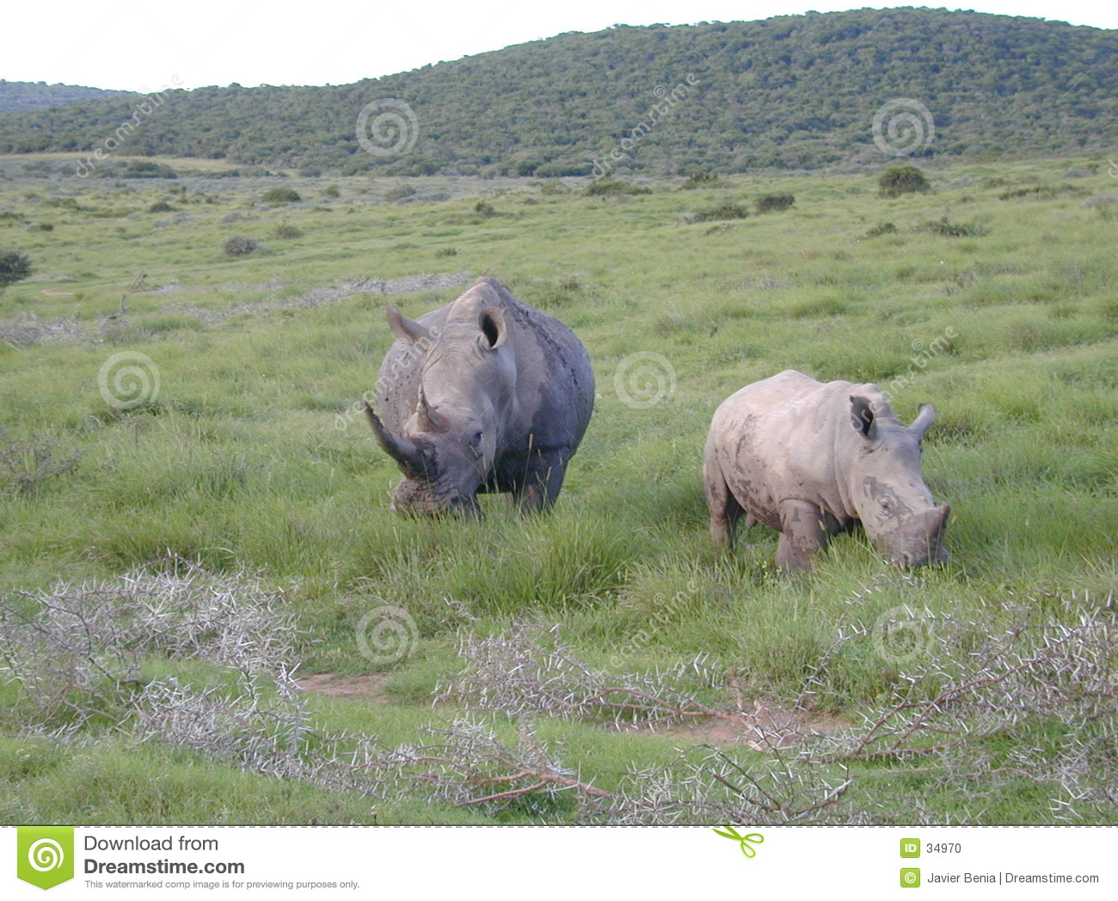Stor rhinoceraus