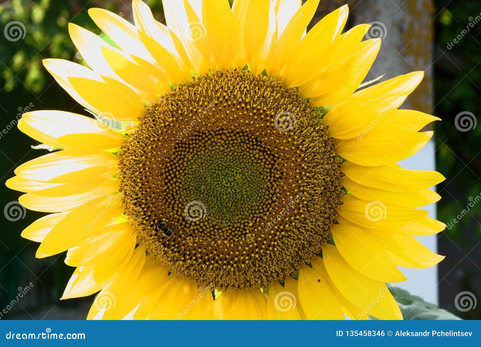 Stor solros och litet bi