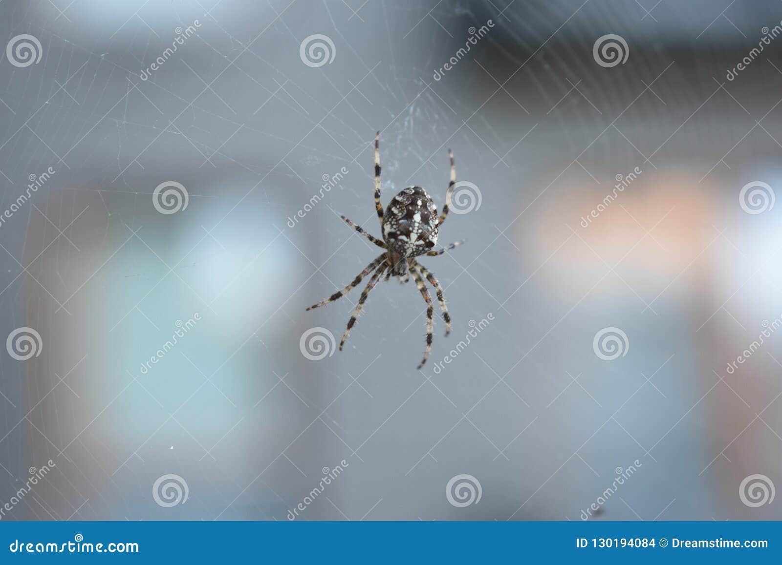 Stor spindel i rengöringsduken