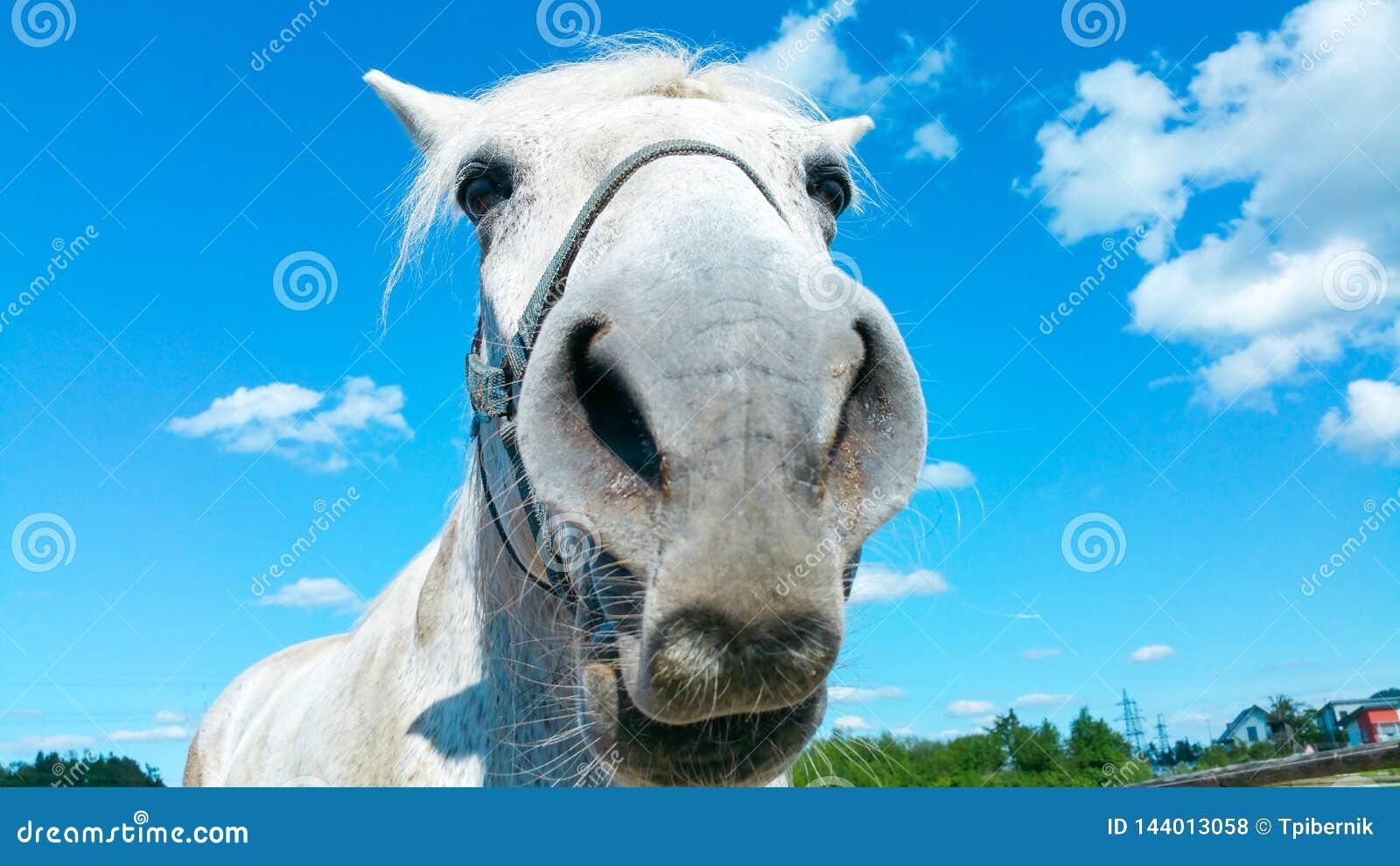 Stor stående för huvud för vit häst på en solig sommardag med klar blå himmel och vita moln