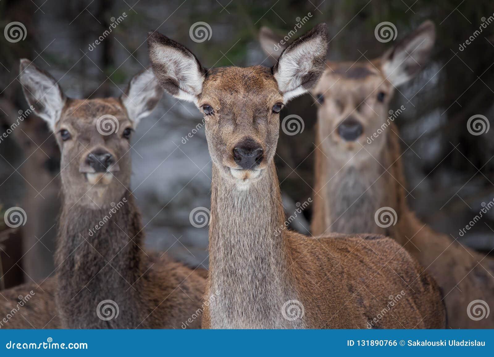 Stor trio: Tre nyfikna kvinnlig av cervidaen för röda hjortar, cervusen Elaphus ser direkt på dig, selektiv fokus på