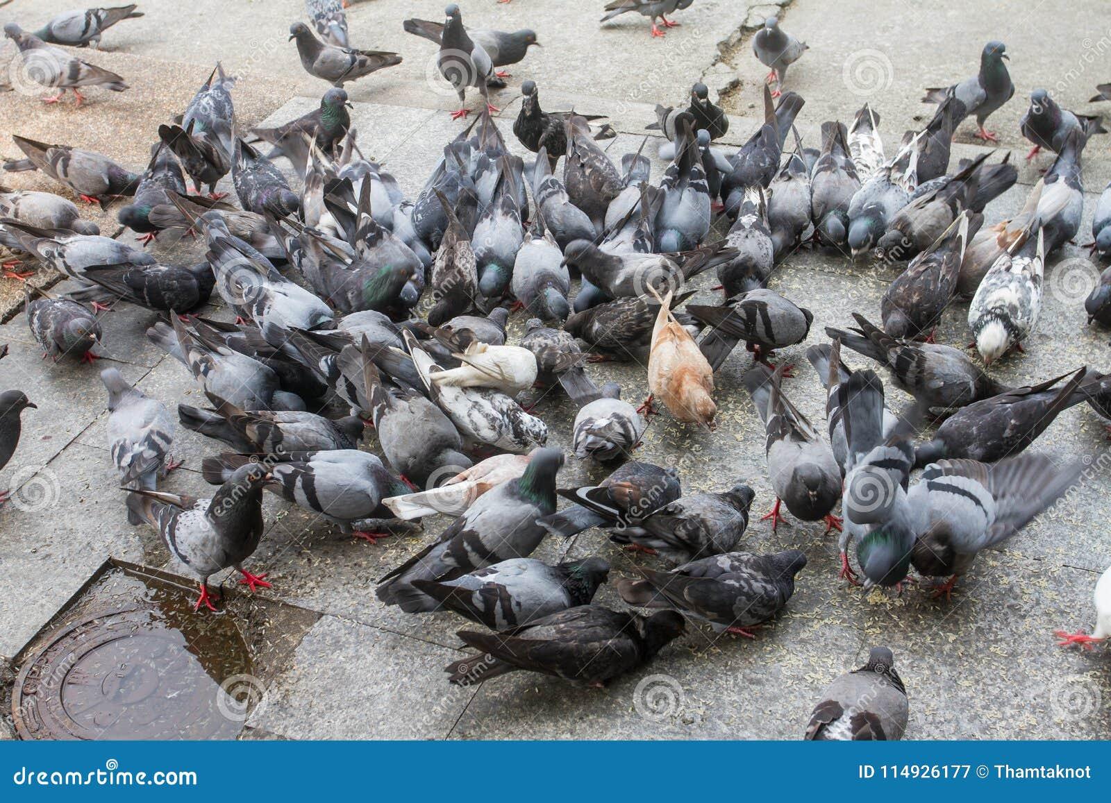 Stora flockar av att picka för duvor äter på golvet