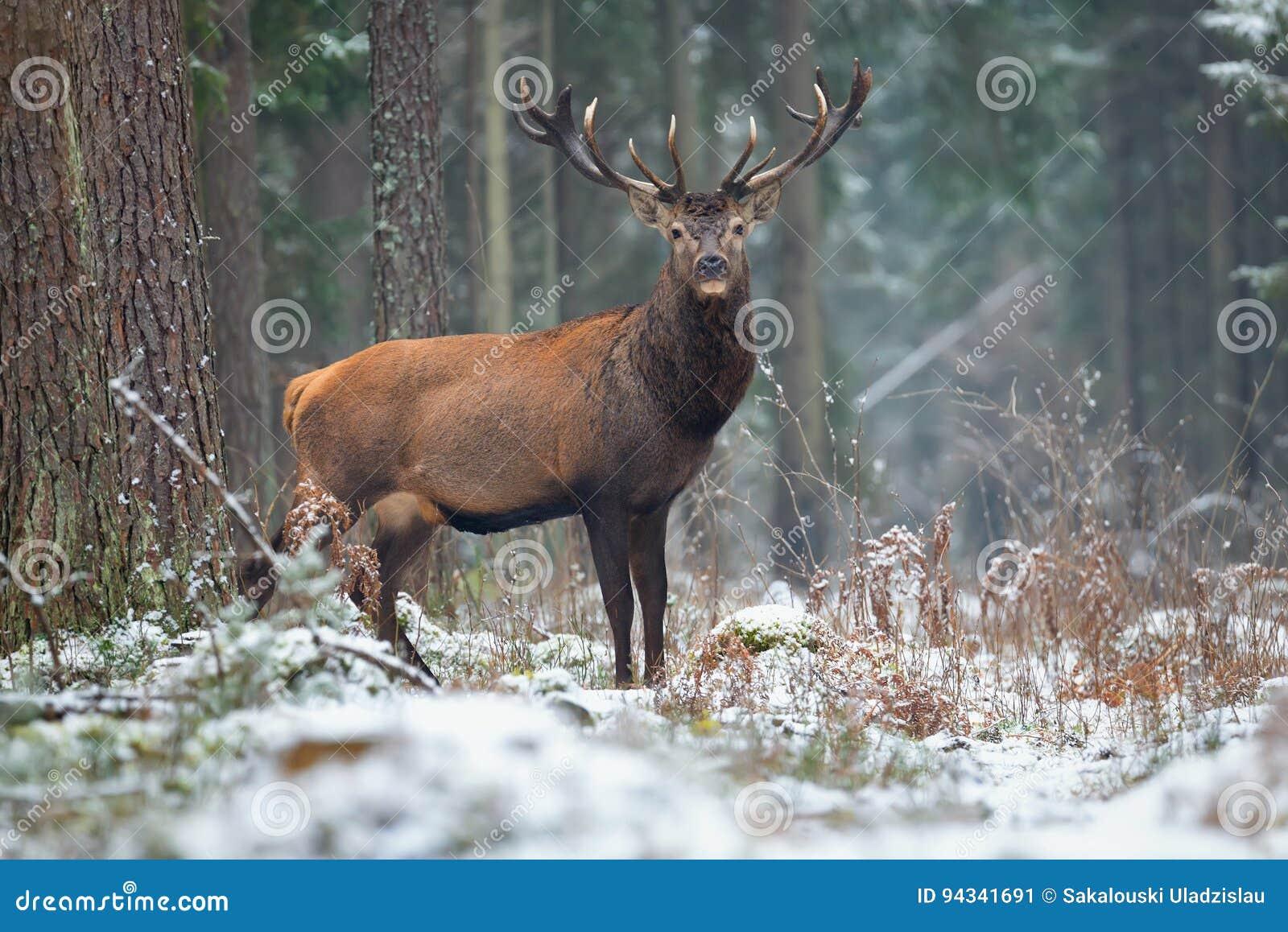Stora vuxna nobla röda hjortar med stora härliga horn på snöig fält på skogbakgrund Europeiskt djurlivlandskap med hjortar