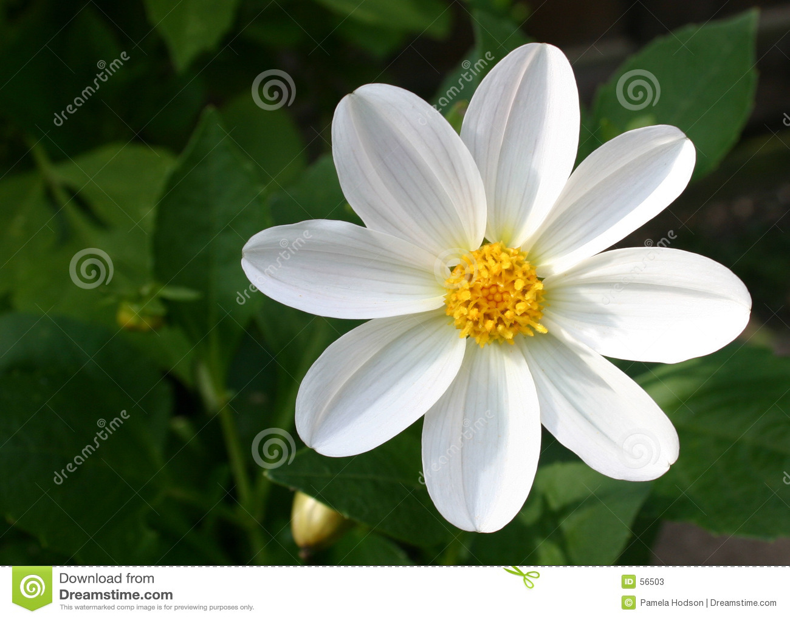 Storartad white för dahlia