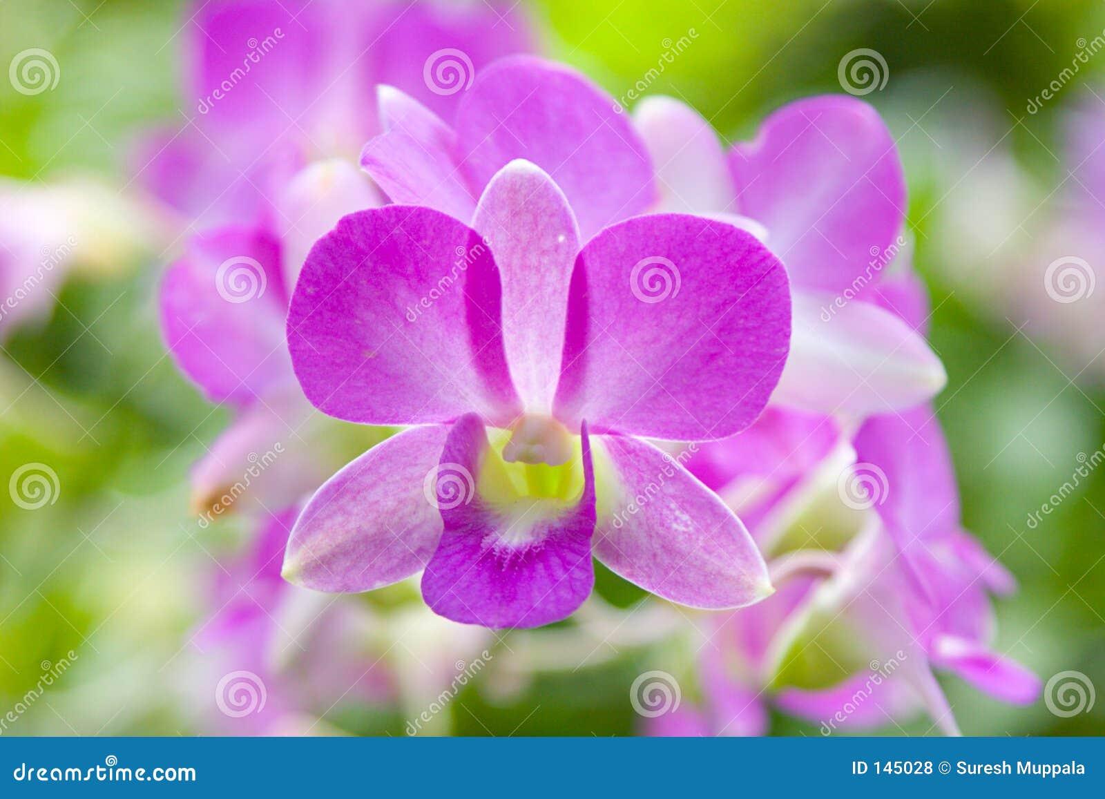 Storczykowe purpurowy