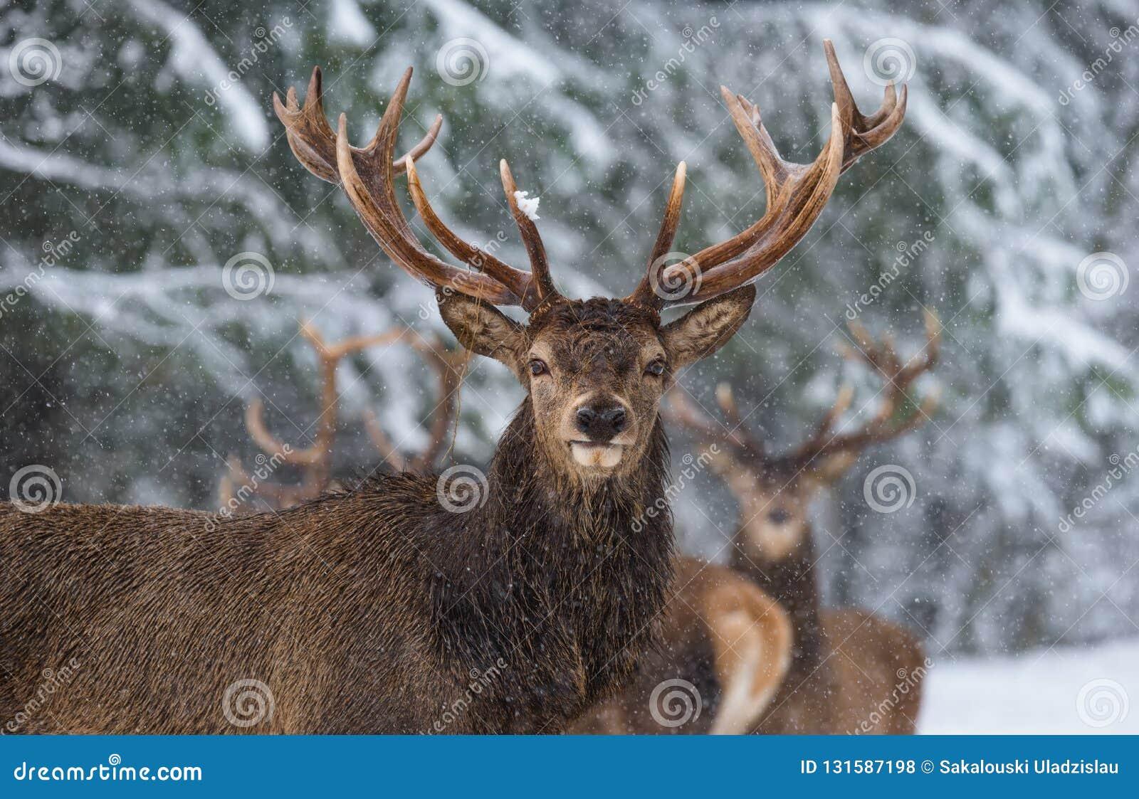 Storia della fauna selvatica di Natale I grandi cervi nobili nobili adulti con i grandi corni, vi esaminano Ritratto di grande ma
