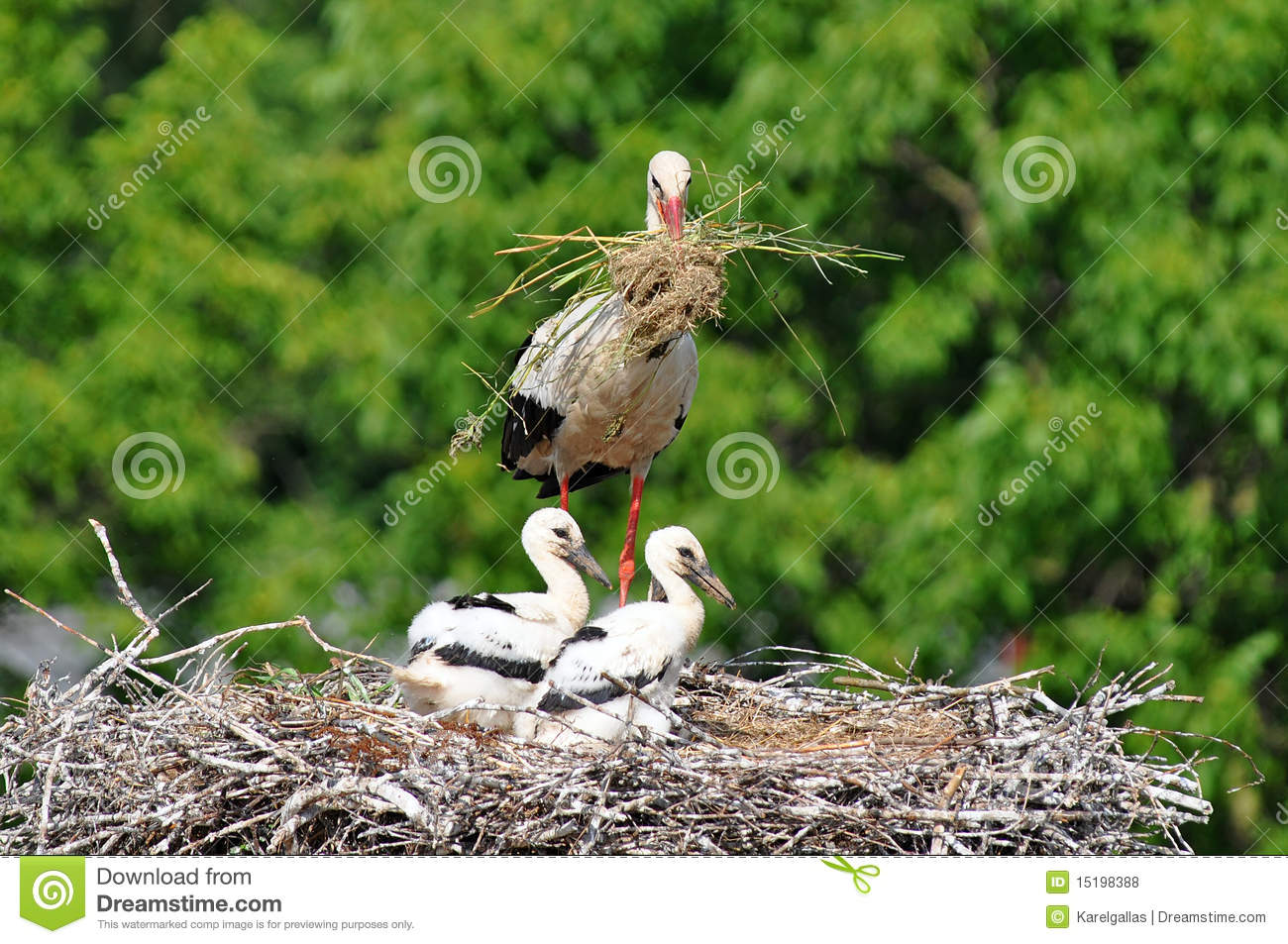 stork with its baby bird stock photo image of white 15198388