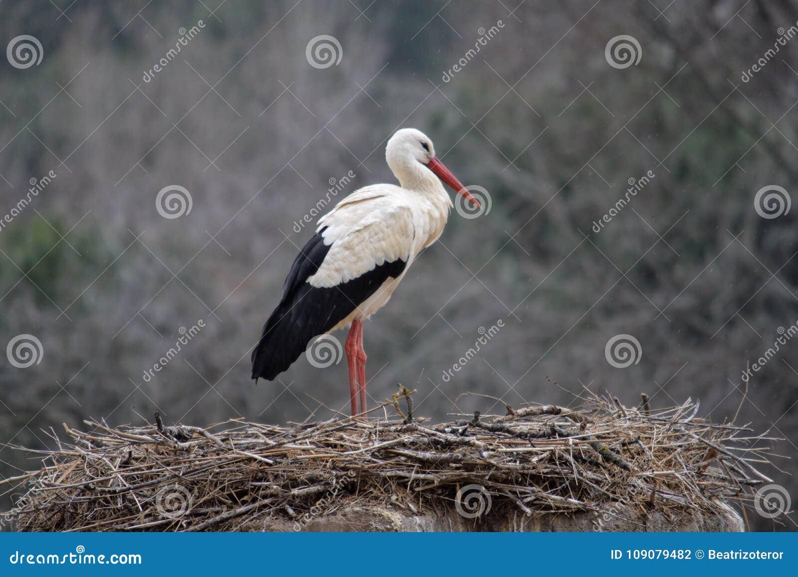 Stork på dess rede