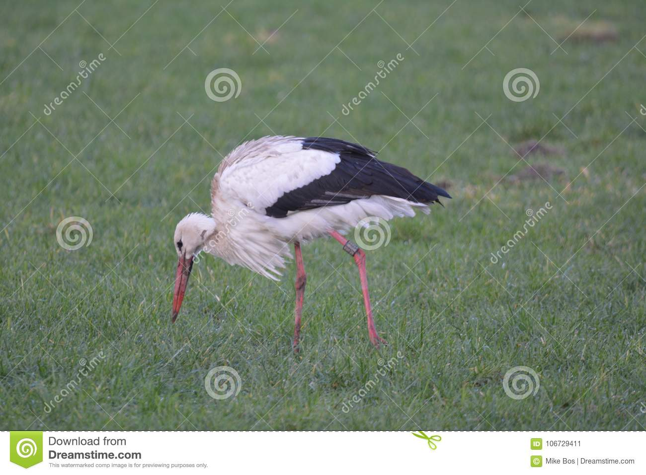 Stork in Abcoude the Netherlands