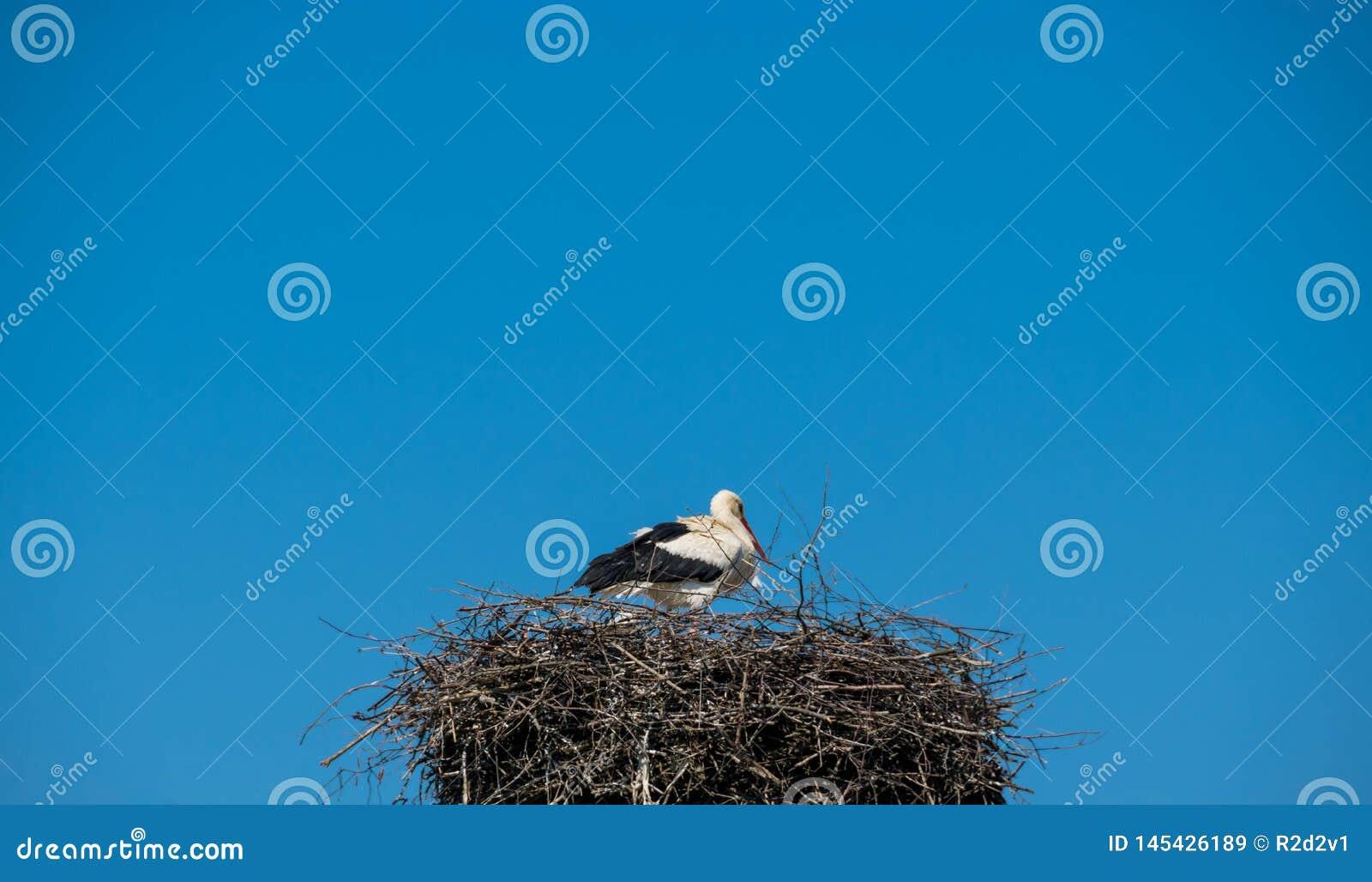 Stork sitting in the nest