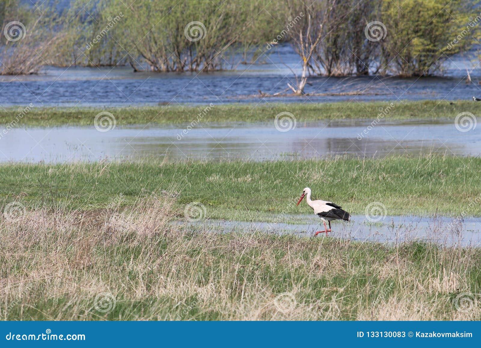 Stork and spring flooding of Pripyat River near Turov, Belarus