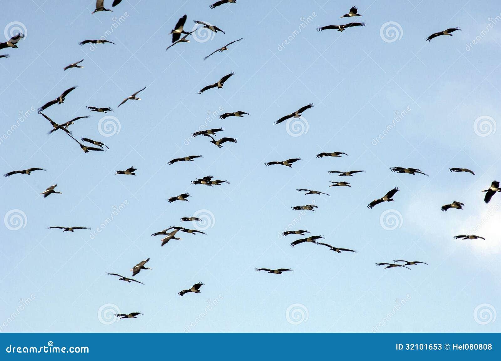 Stormo degli uccelli