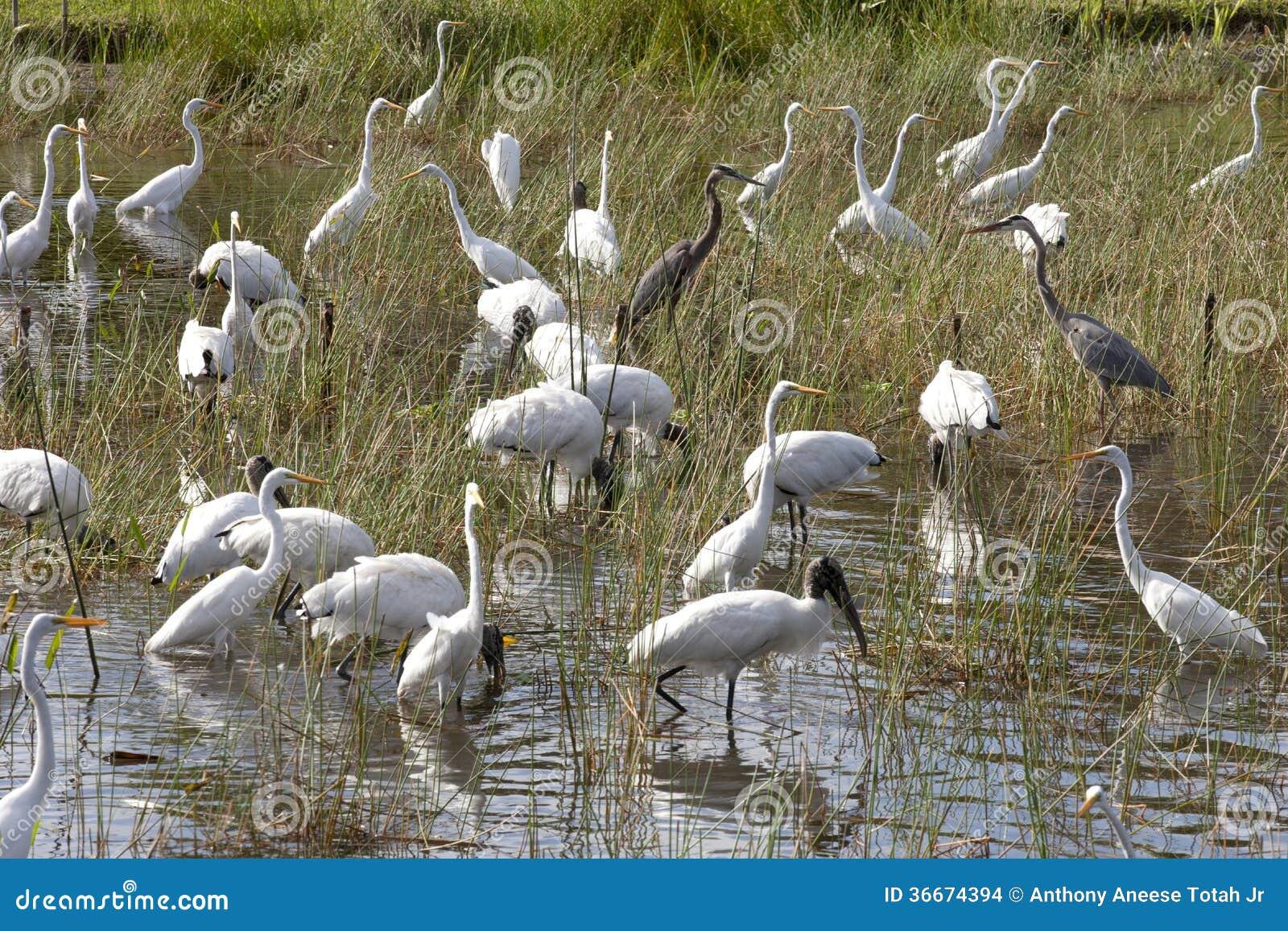 Stormo degli uccelli immagini stock immagine 36674394 for Stagno artificiale