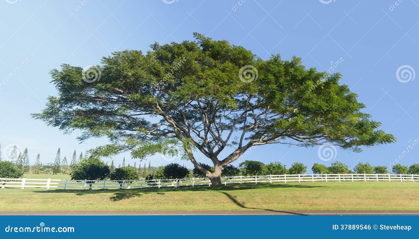 Stort akacia- eller koaträd Kauai