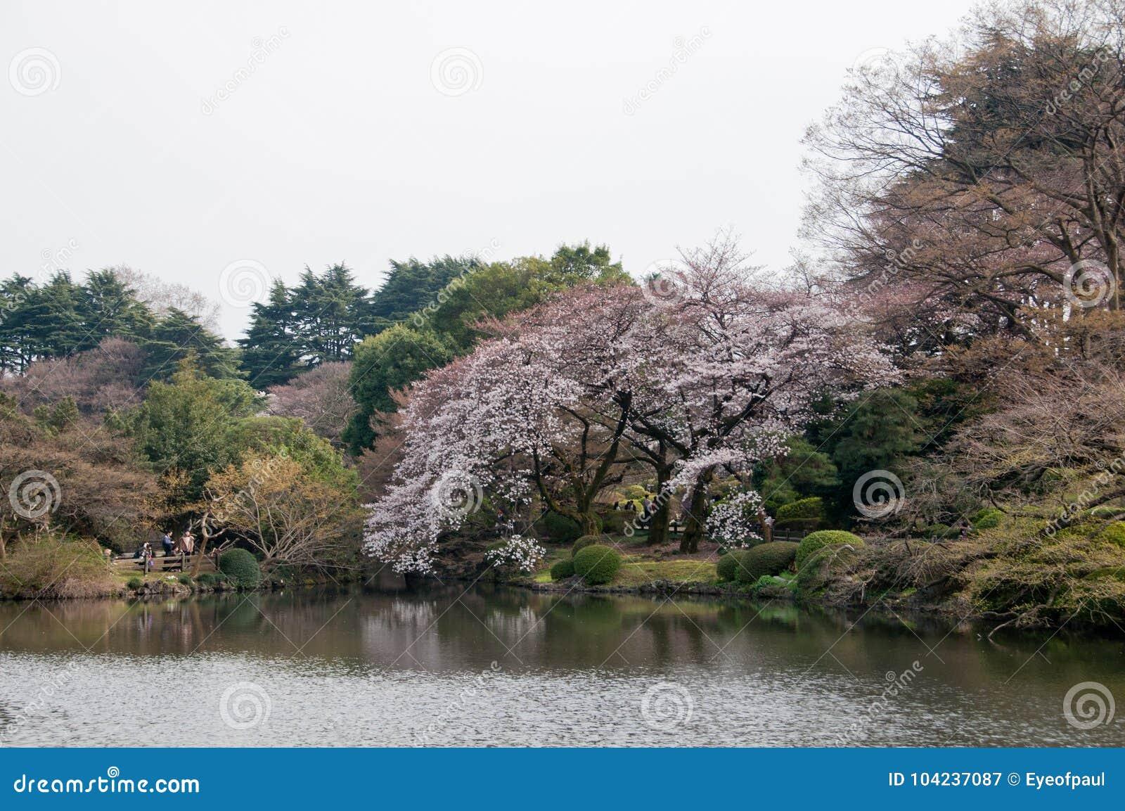 Stort härligt sakura för körsbärsröd blomning för full blom rosa träd med ca