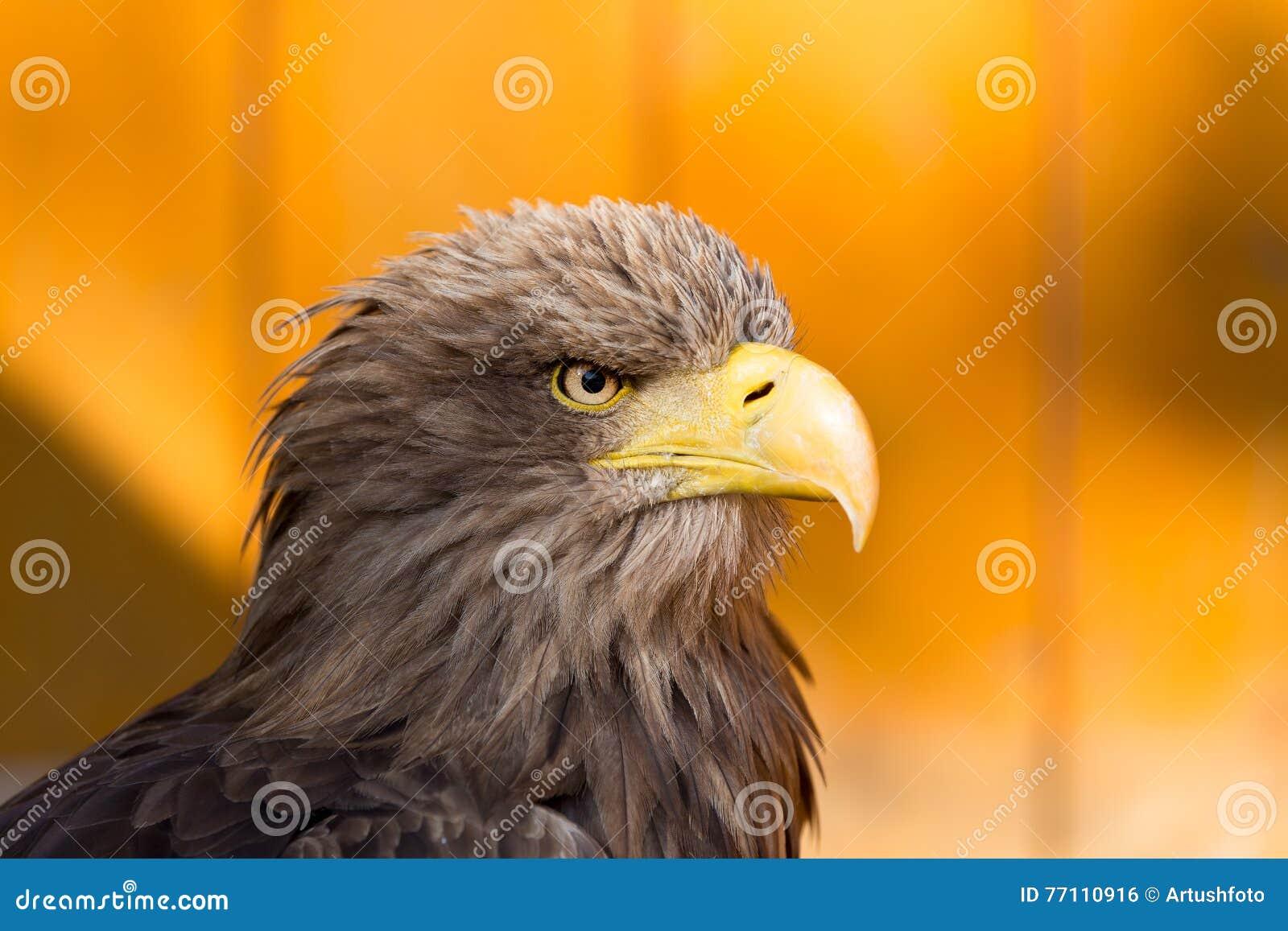 Stort hav Eagle & x28; Haliaeetusalbicill& x29;