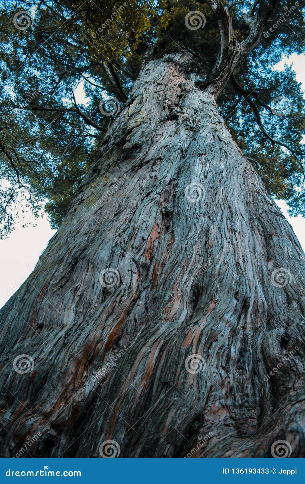 Stort växande träd i rainforest på den södra ön av Nya Zeeland, sikt för låg vinkel