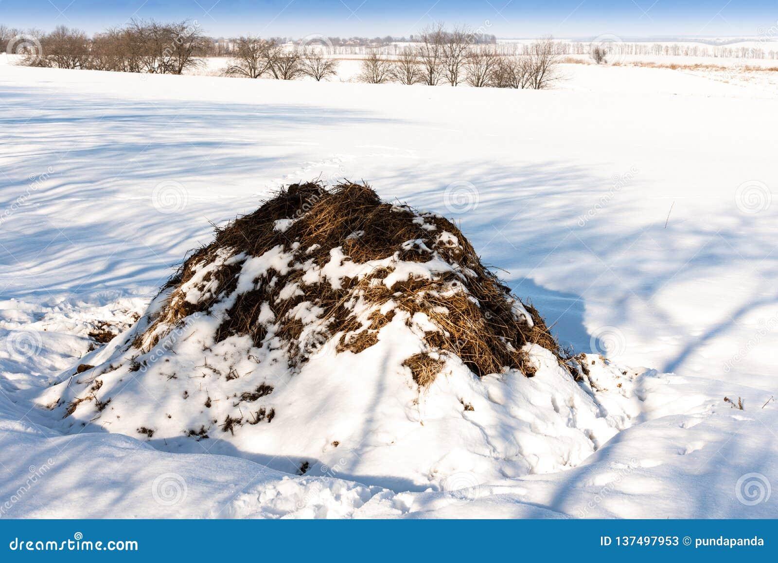 Stos krowy łajno w polu w zimie