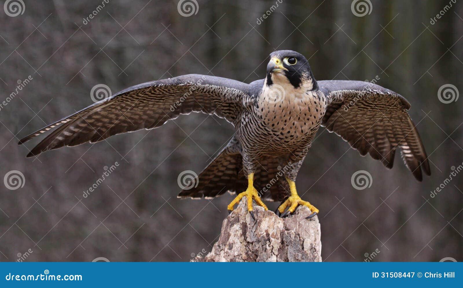 Sträckning av Peregrine Falcon