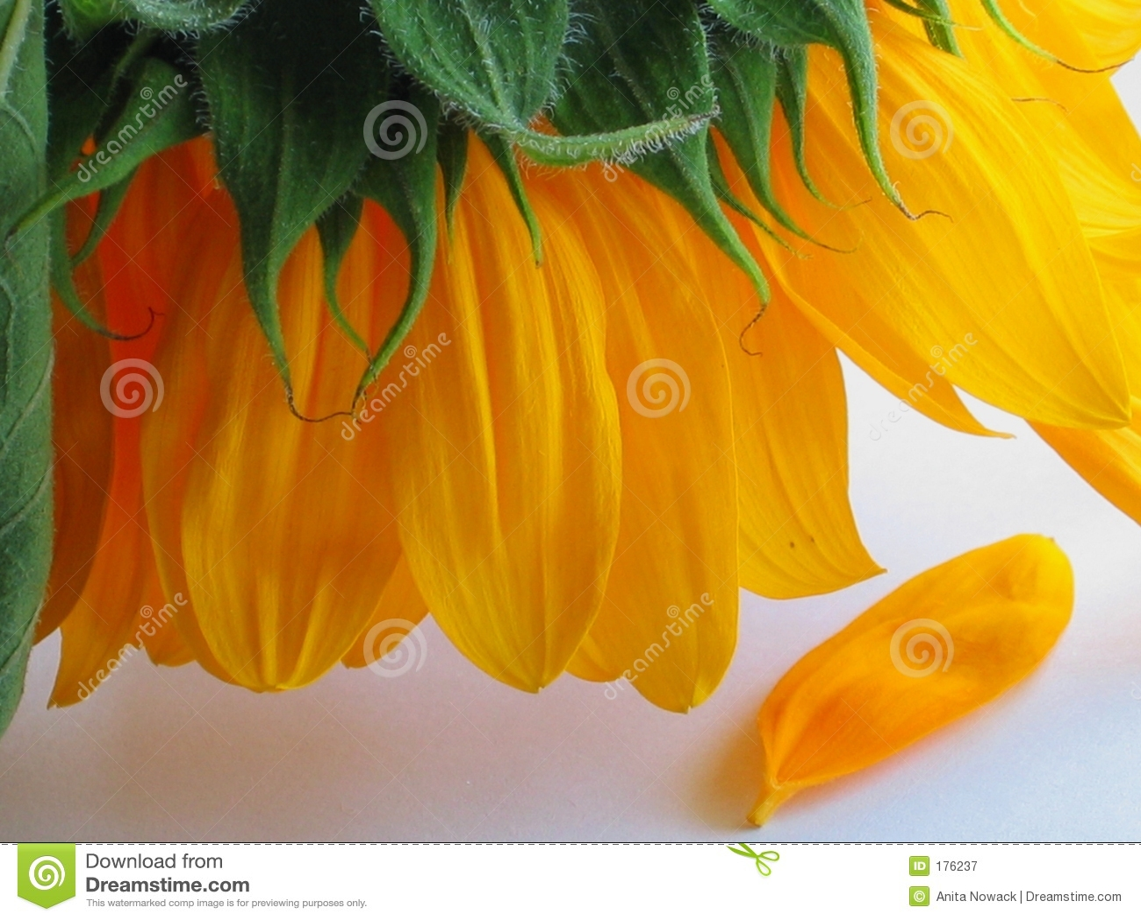 Straciłem płatkiem słonecznik