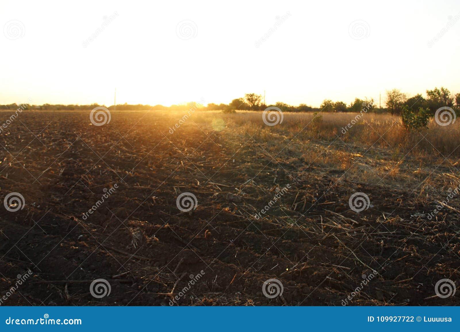 Strada campestre e campo smussato dei girasoli al tramonto in autunno