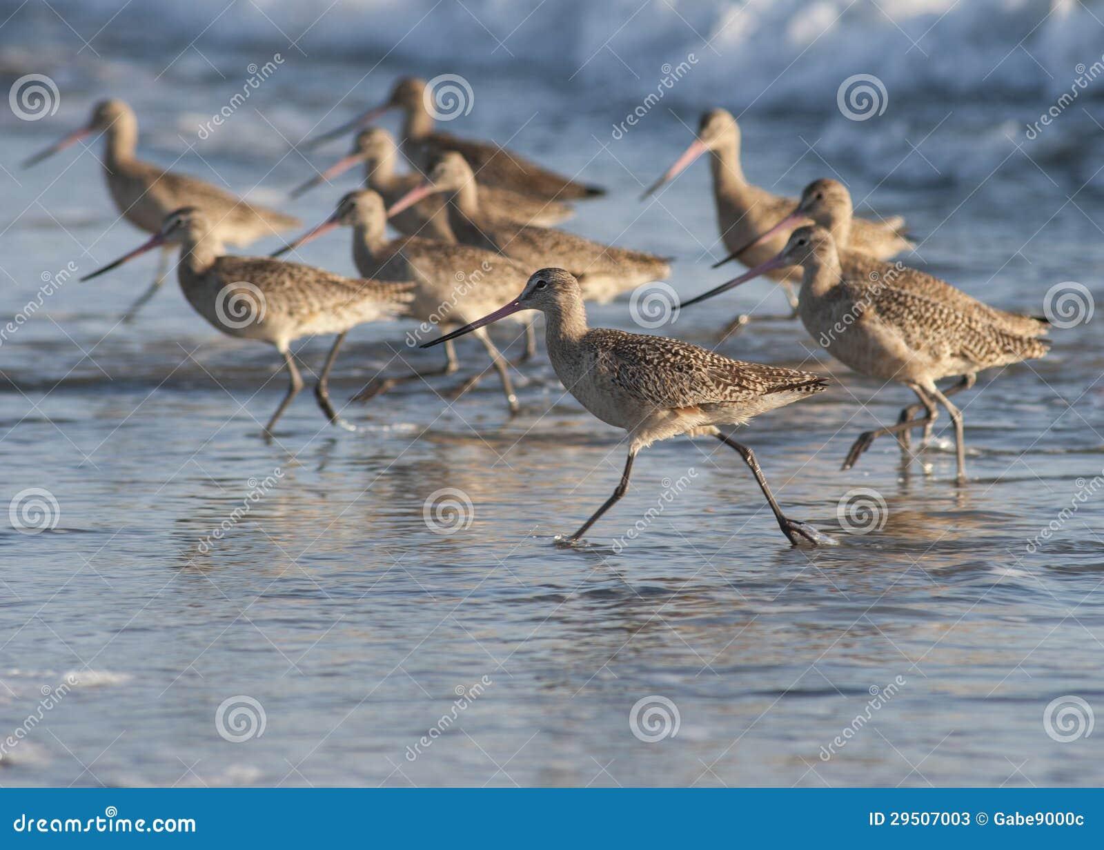 Strand vogels het lopen