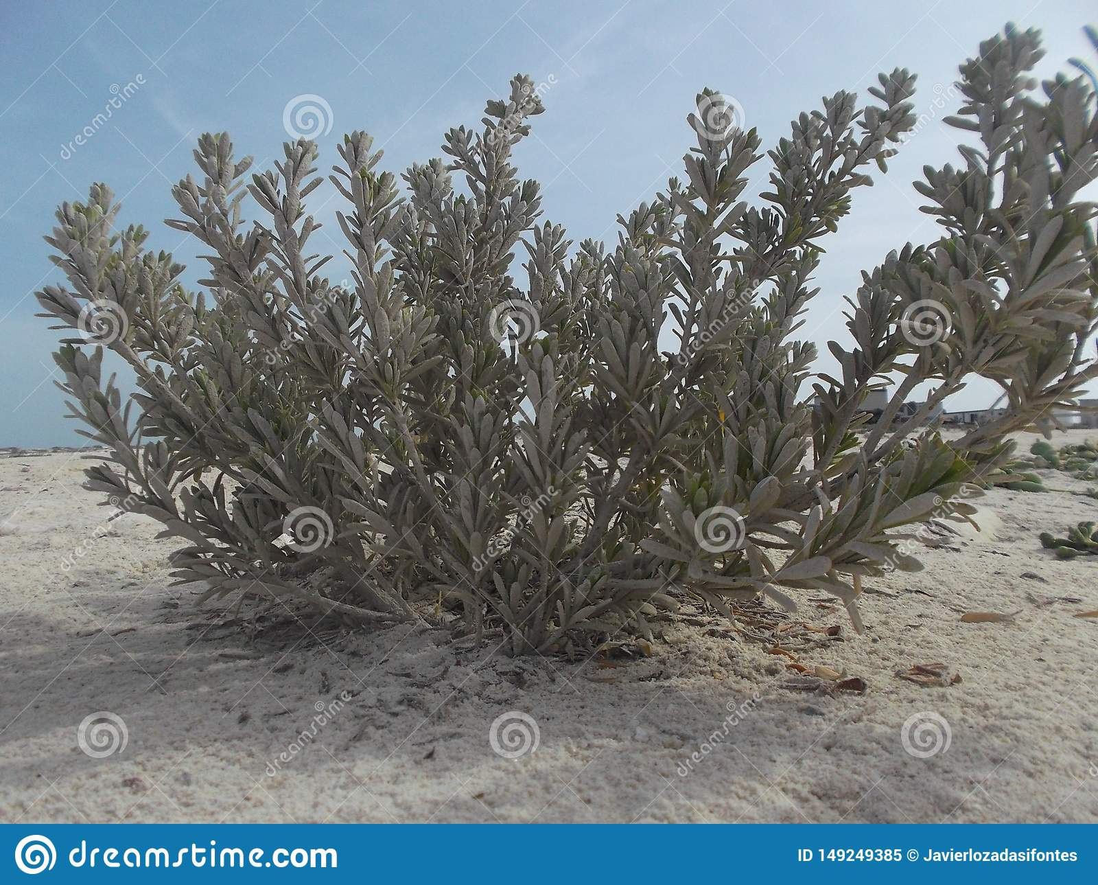 Strandbuske