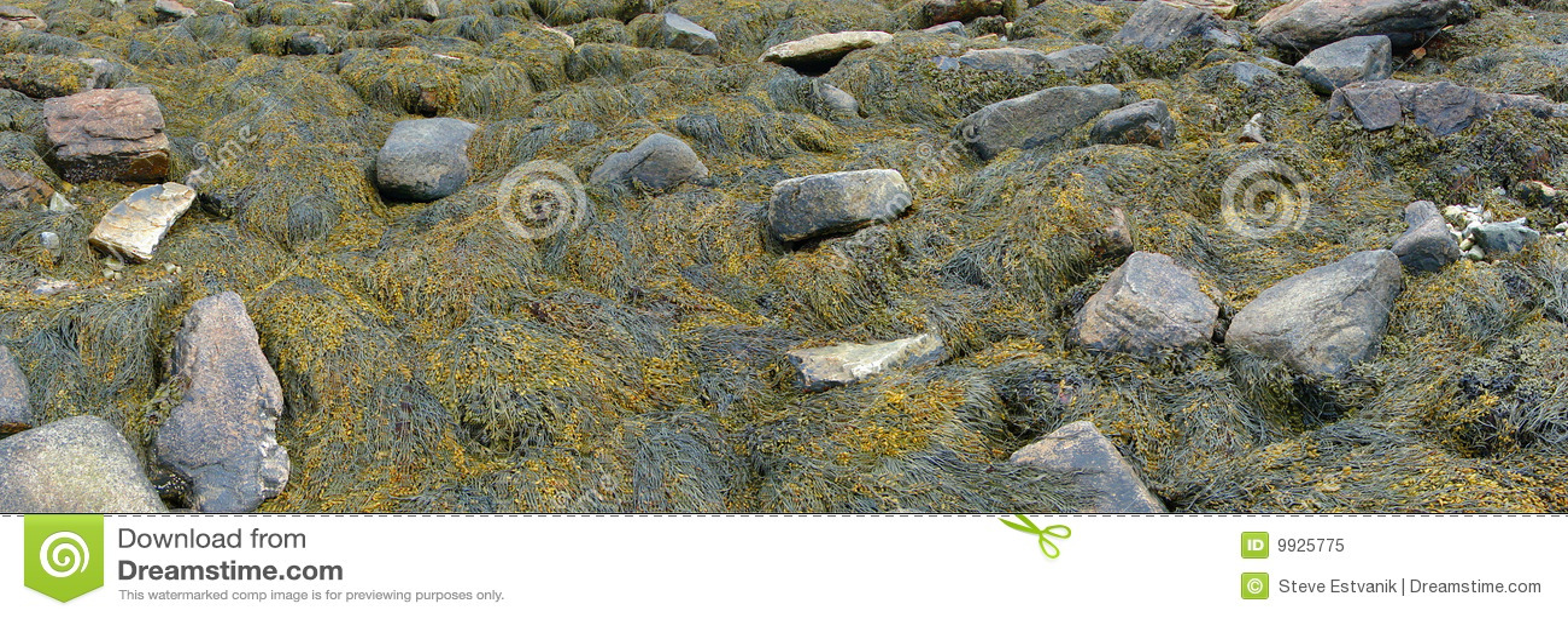 Stranddetaljkelp vaggar seaweed