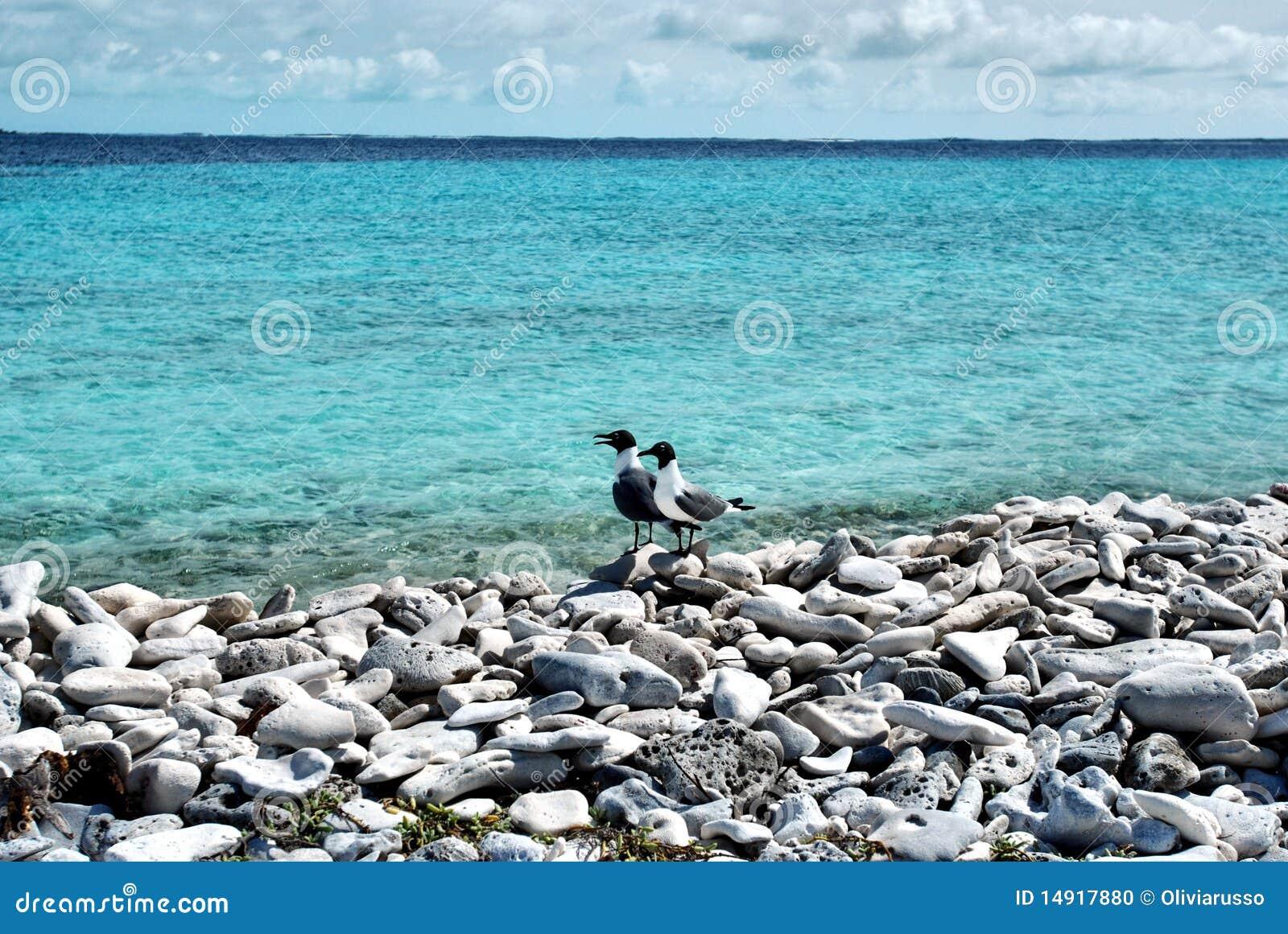 Strandfiskmås