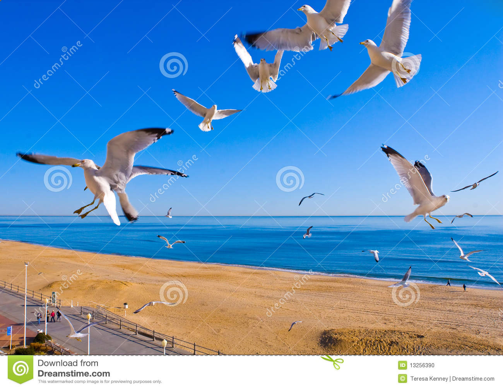 Strandflygseagulls