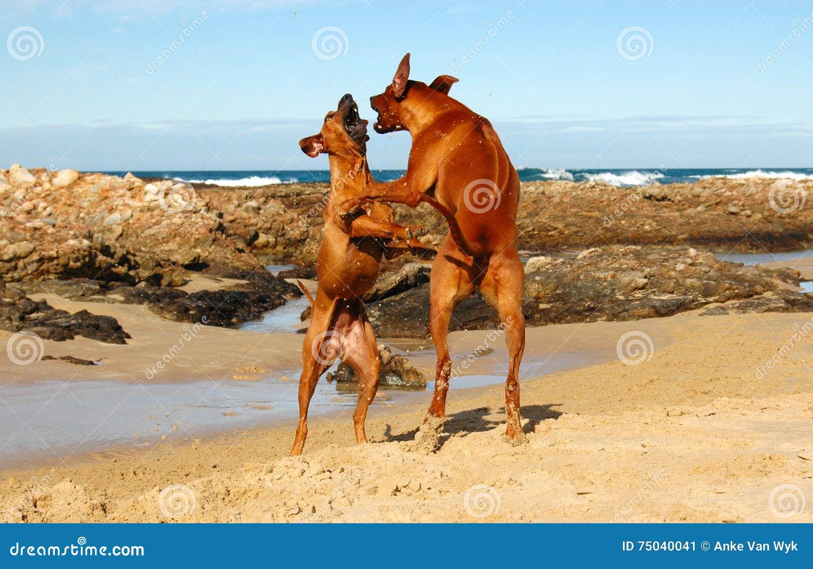 Strandhonden het spelen