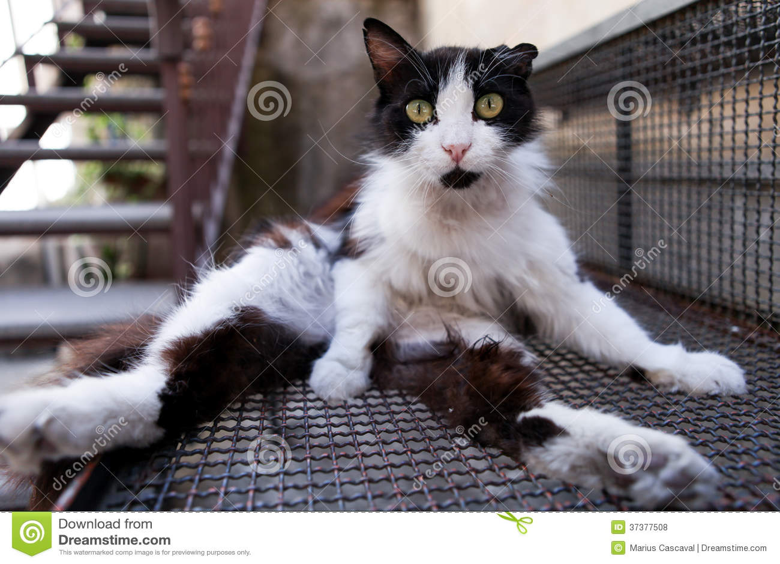 Strange Cat Royalty Free Stock Photos Image 37377508