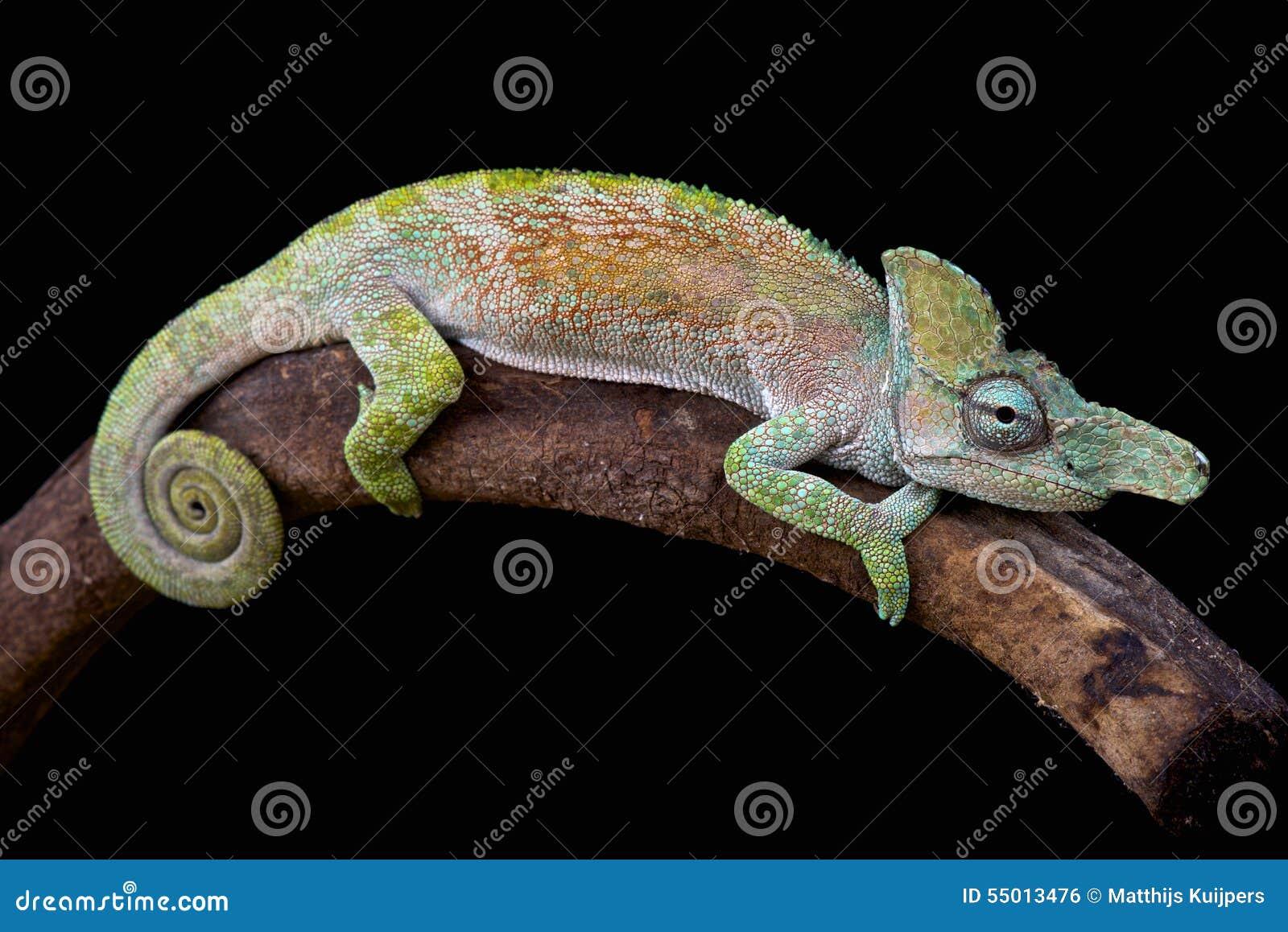 Strange-nosed chameleon (Kinyongia xenorhina)