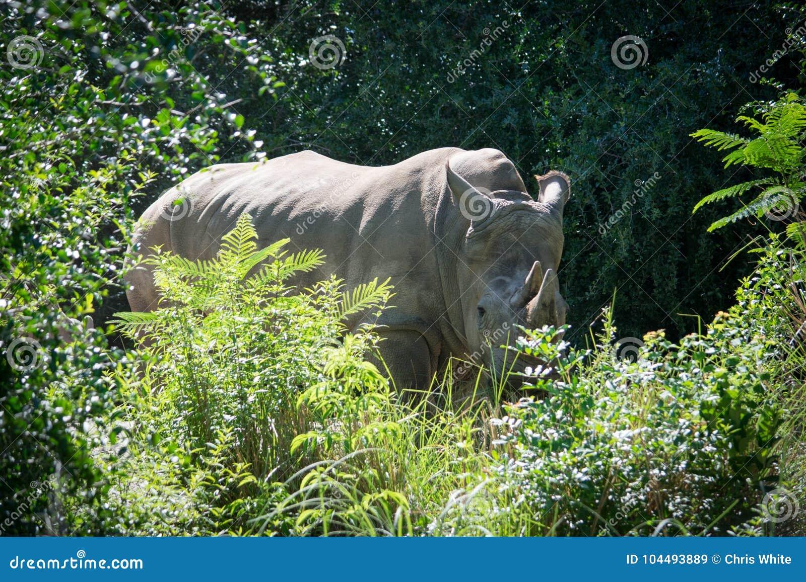 Shy rhino stock image  Image of strange, outdoors, have