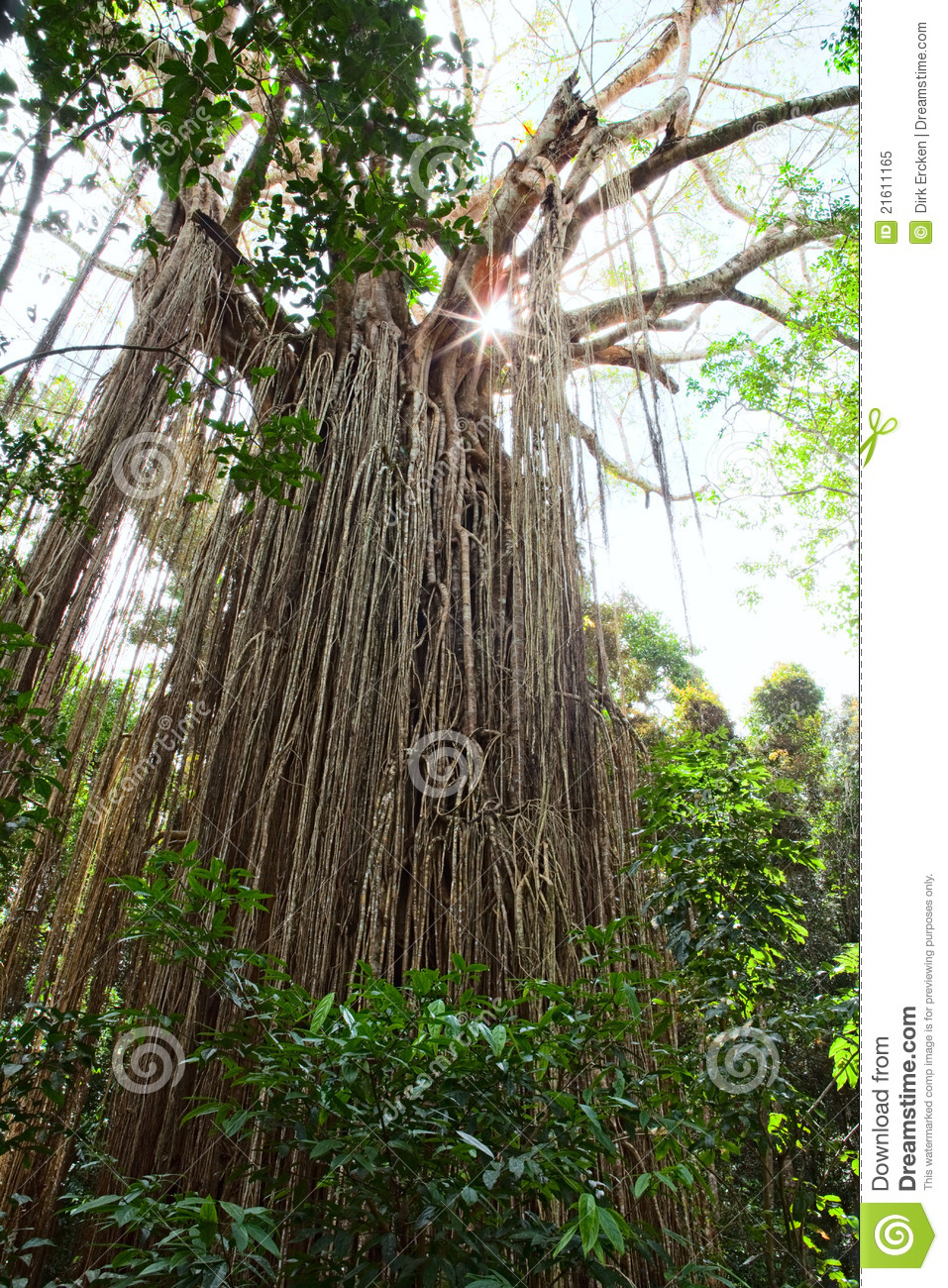 Figtree Australia  City pictures : Strangler curtain fig tree in Atherton Tabellands Queensland Australia ...