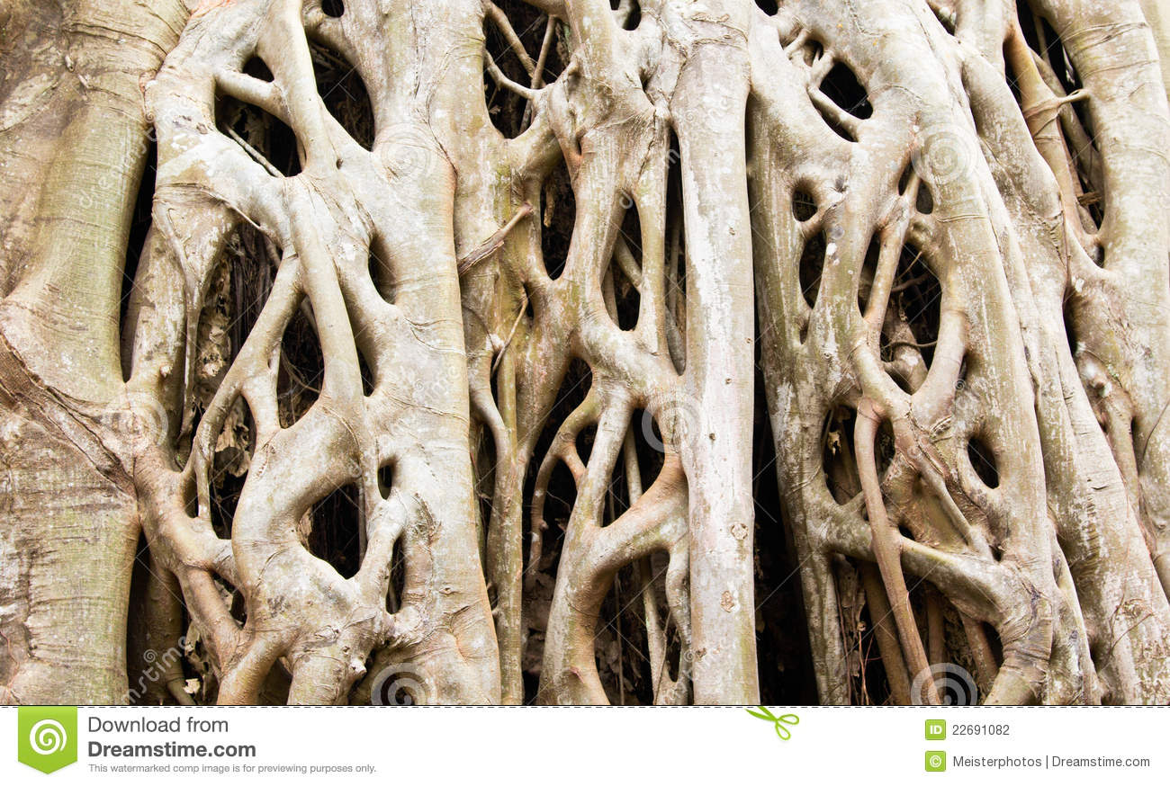 Strangler Fig Tree Roots Background Close Up. Stock Photography ...