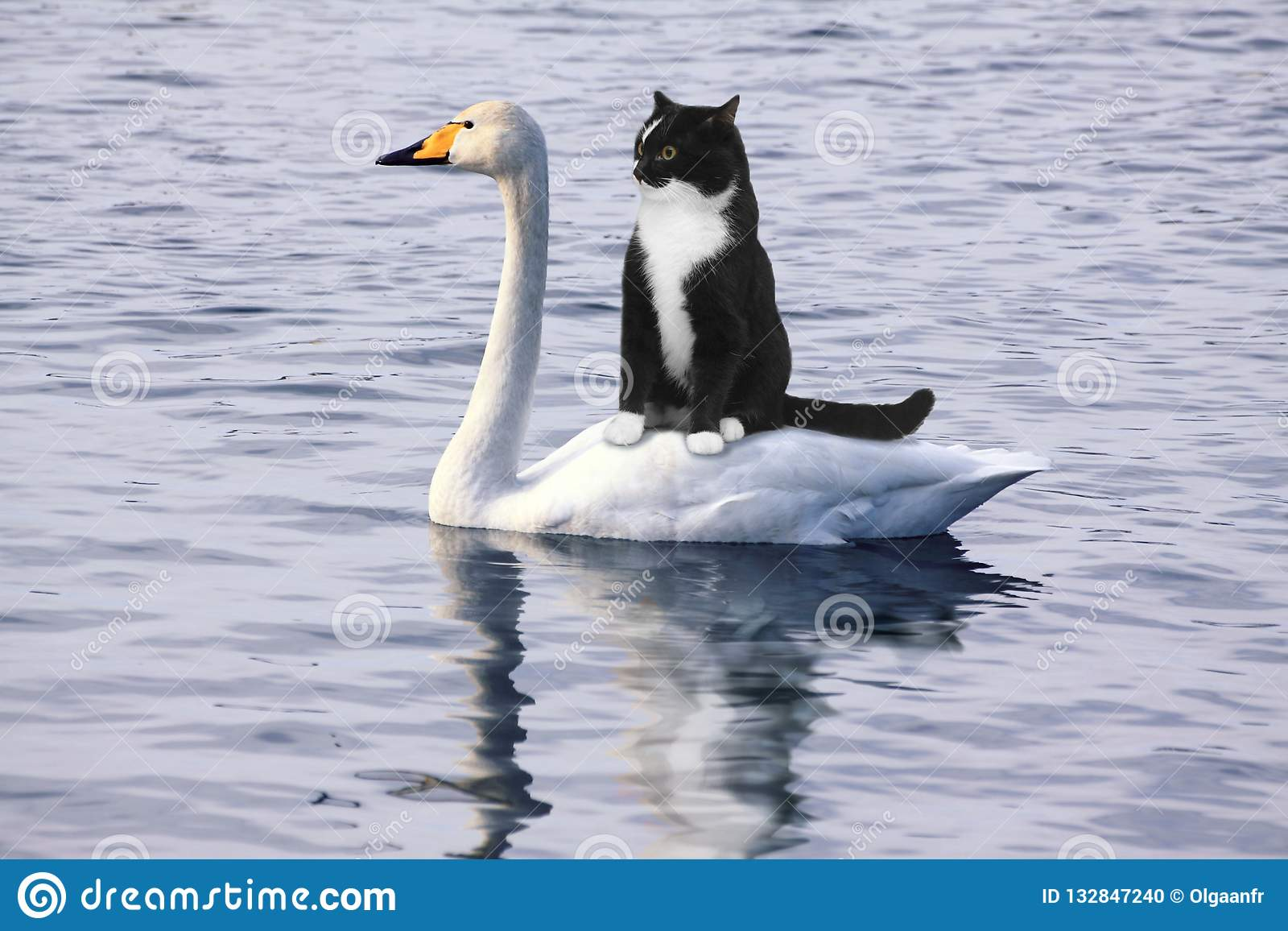 Straszący czarny kot unosi się na białym łabędź