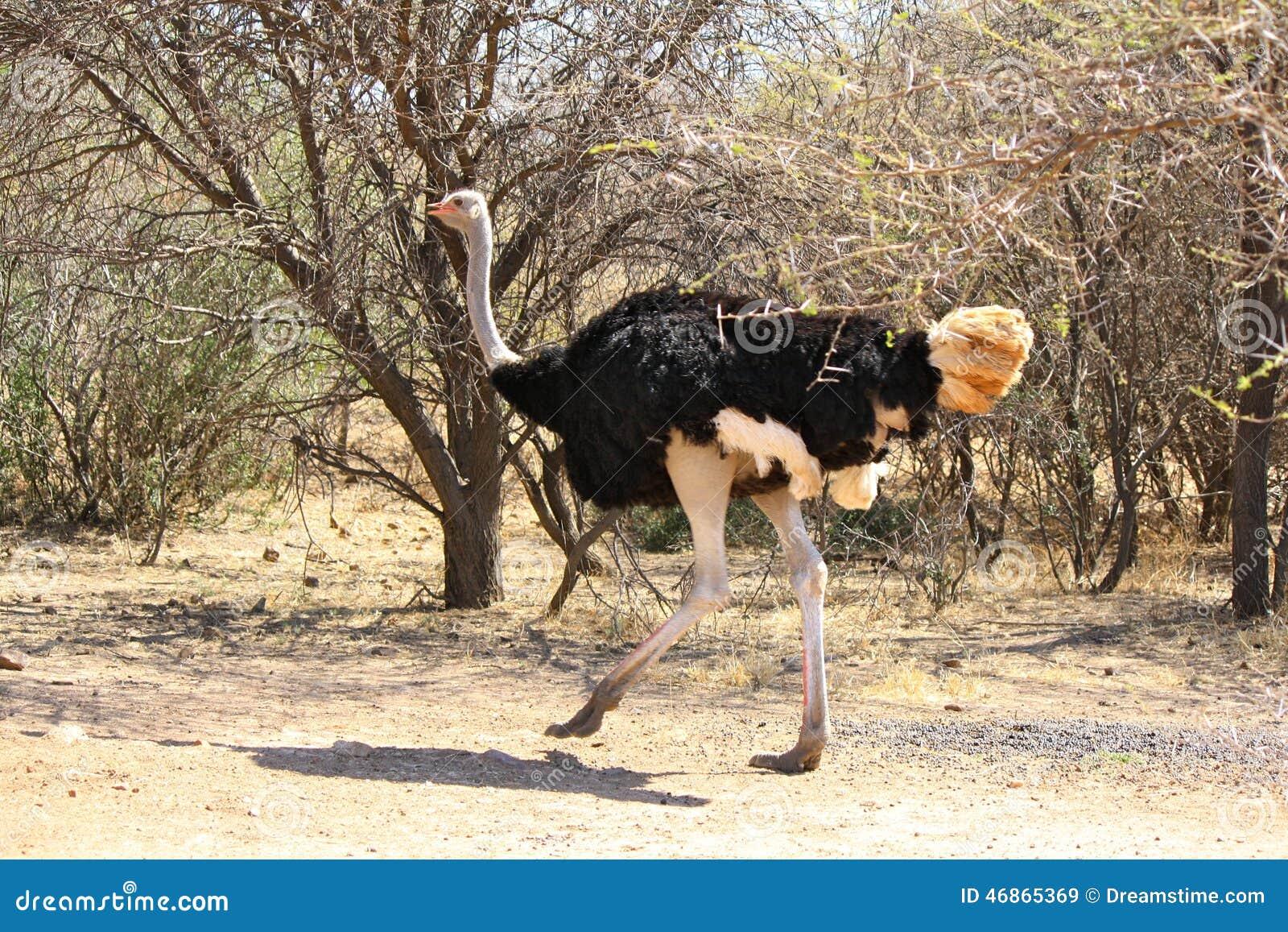 Strauß Der Auf Sandbahn Straße In Botswana Läuft Stockbild Bild